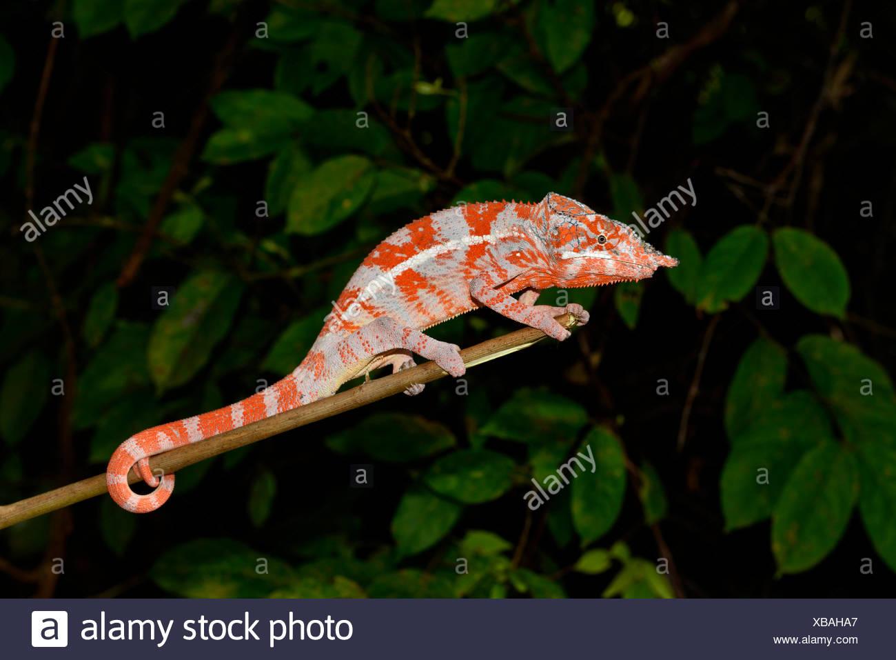 Angel's Chameleon (Furcifer angeli), macho, raros, bosque seco, en el noroeste de Madagascar Imagen De Stock