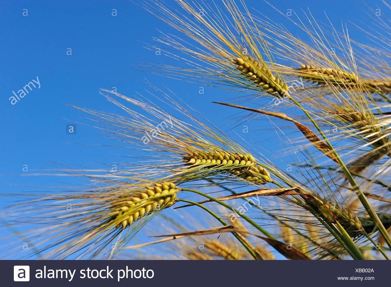 Cebada, cereales, Center-Val de Pays de la Loire, Francia, Europa. Imagen De Stock
