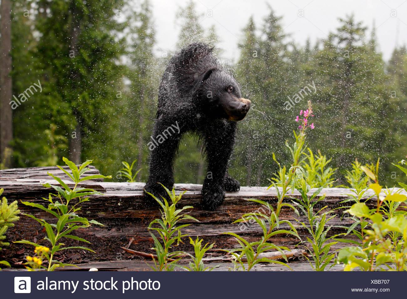 Un oso negro, Ursus americanus, agita el agua fuera de sí mismo. Imagen De Stock