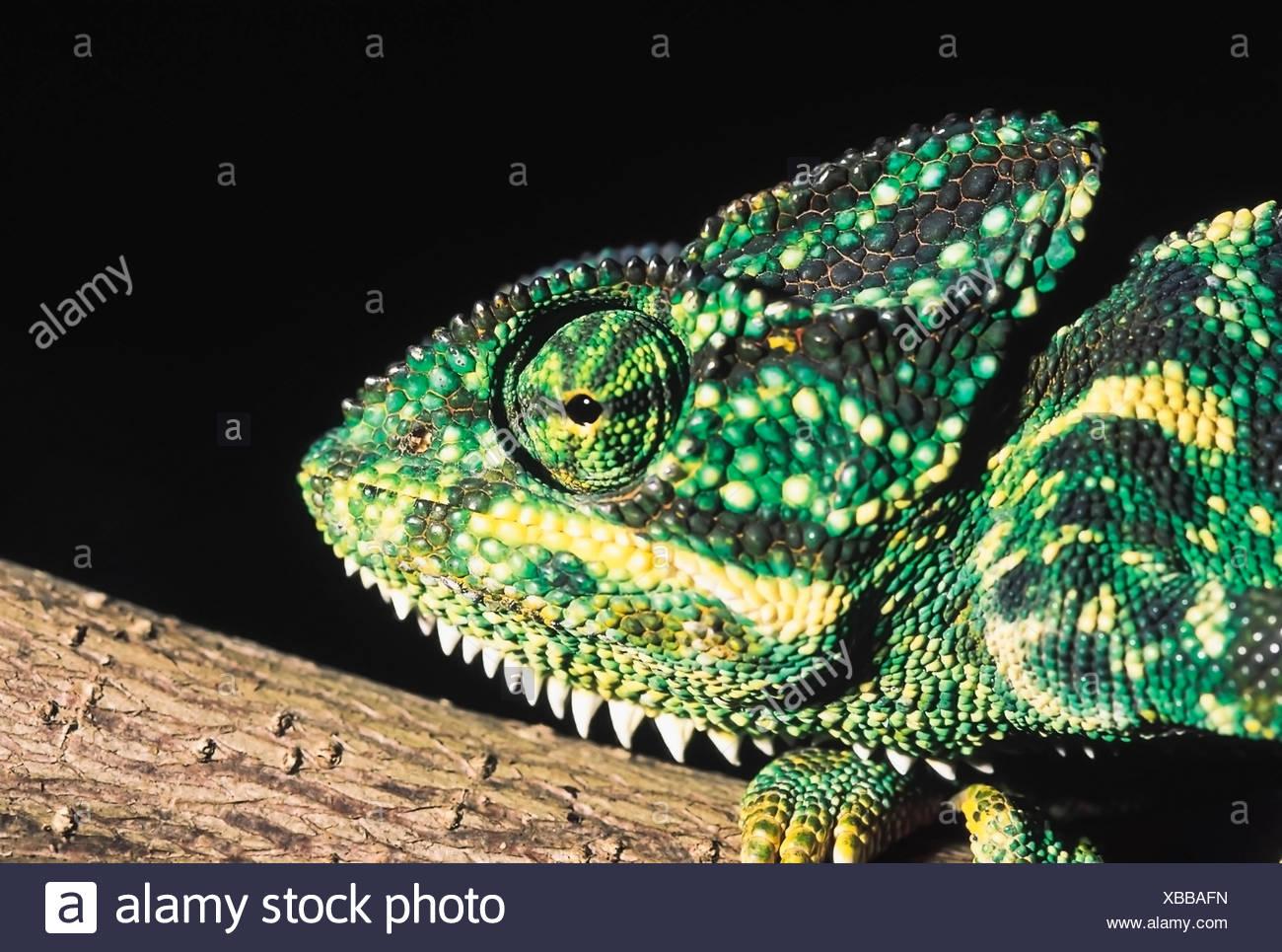 Camaleón Zeylanicus. Indian camaleón, Camaleón cabeza. En Maharashtra, India. Imagen De Stock