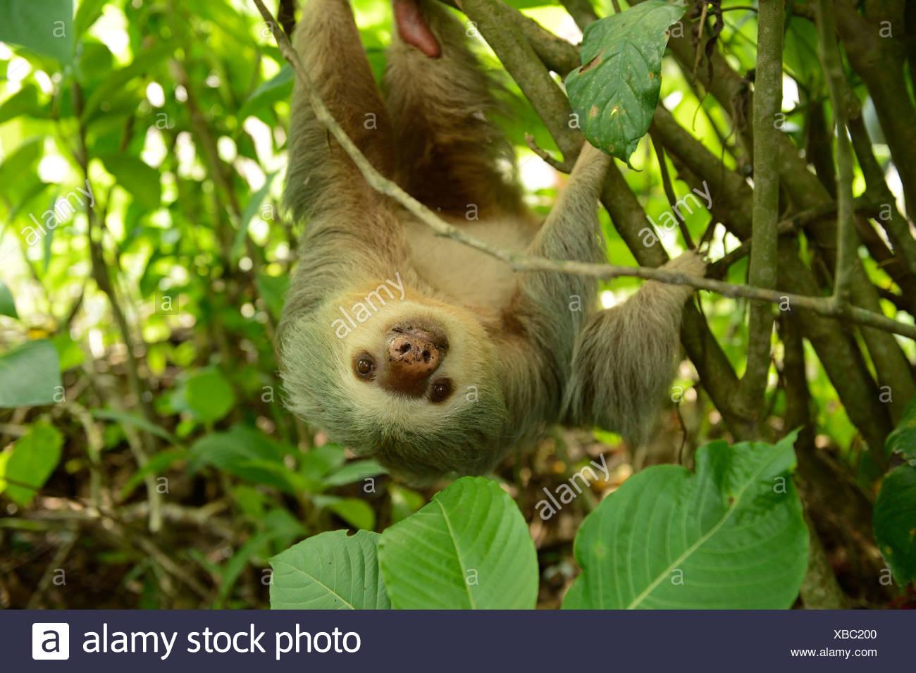Dos de Hoffmann, pereza (Choloepus hoffmanni vetado), colgado boca abajo de un árbol, La Fortuna, Costa Rica, Centroamérica Foto de stock