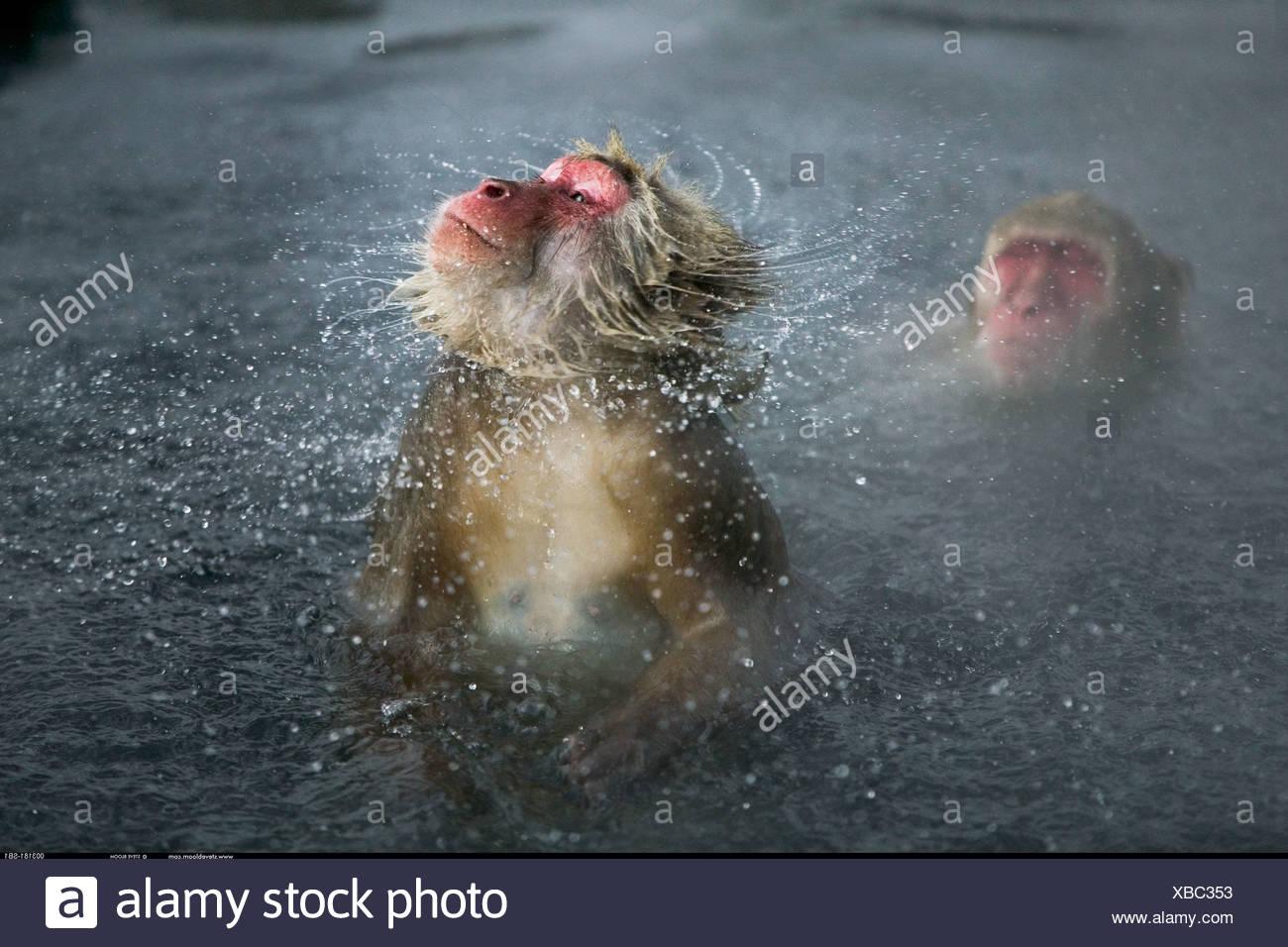 Mono de nieve sacudiéndose el agua del Parque Nacional Jigokudani Japón Imagen De Stock
