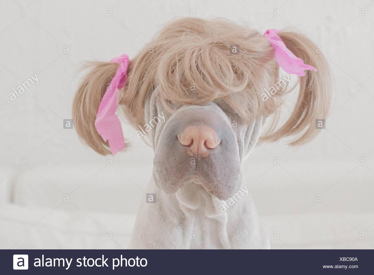 Shar pi perro con una peluca con lechones Foto de stock