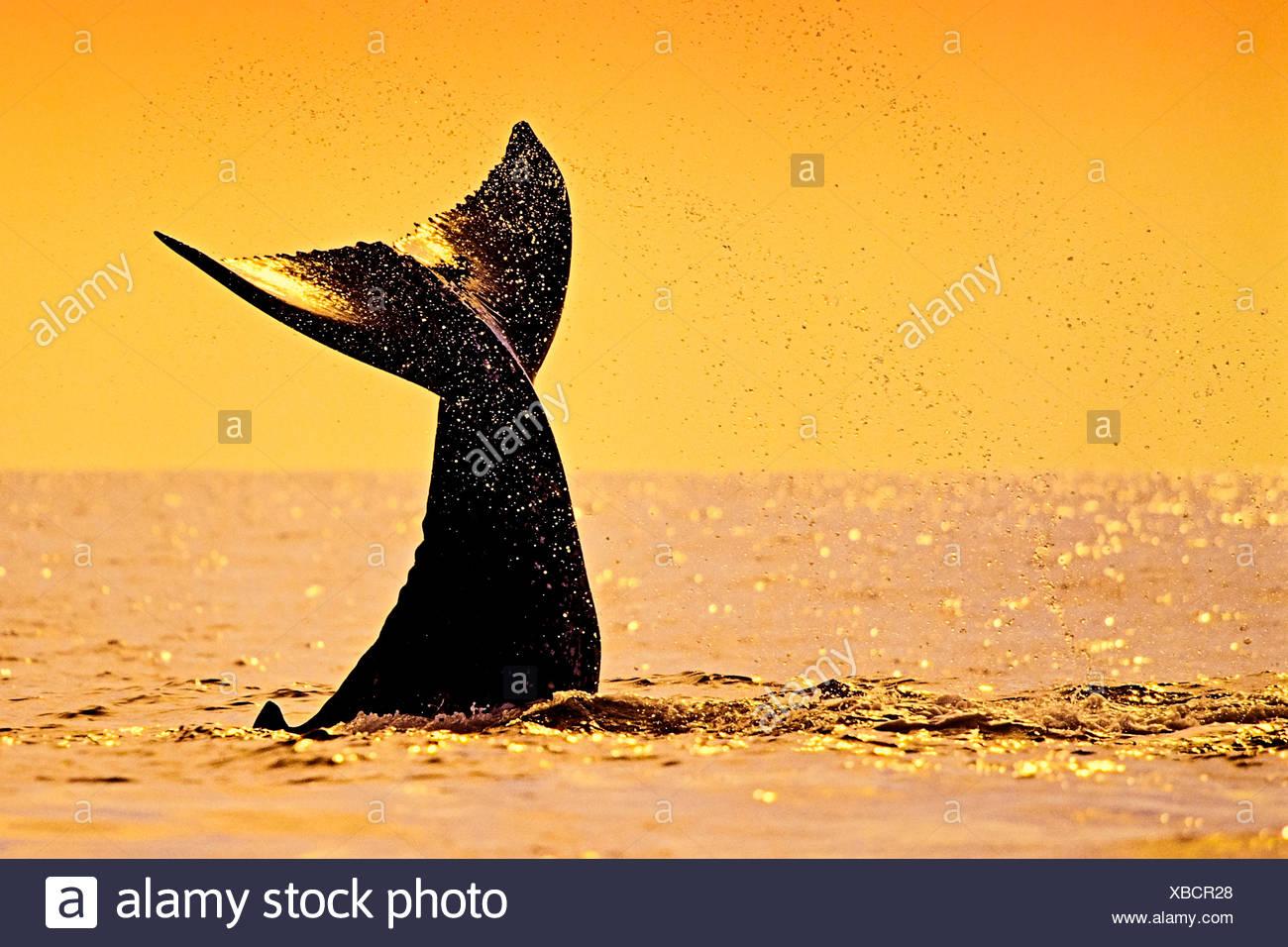 Fluke de ballena jorobada, Megaptera novaeangliae, Hawaii, EE.UU. Imagen De Stock