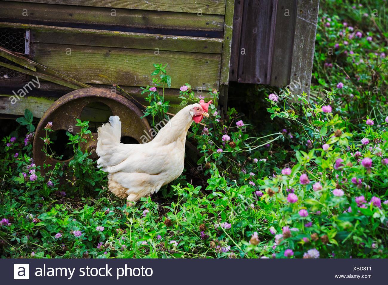 Gallo está junto al gallinero móvil. Imagen De Stock