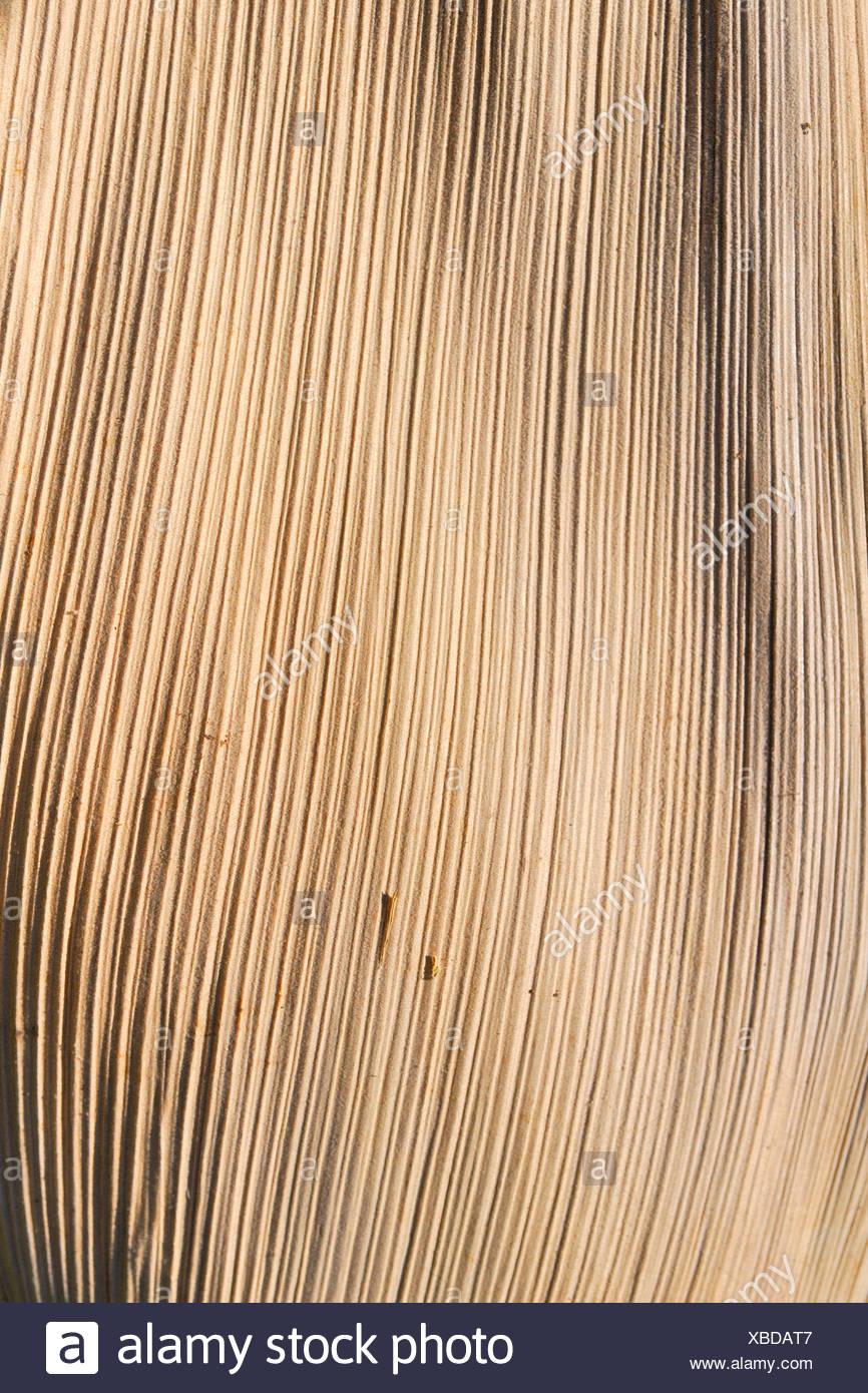 La textura de la superficie de una de las frondas de palma, hojas secas Imagen De Stock