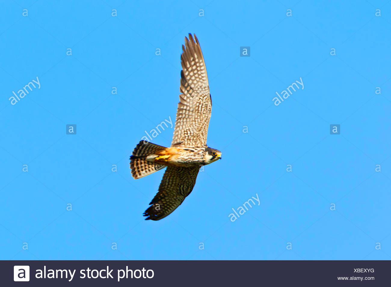 Hobby septentrional (Falco Subbuteo), volando, Alemania, Renania-Palatinado Imagen De Stock