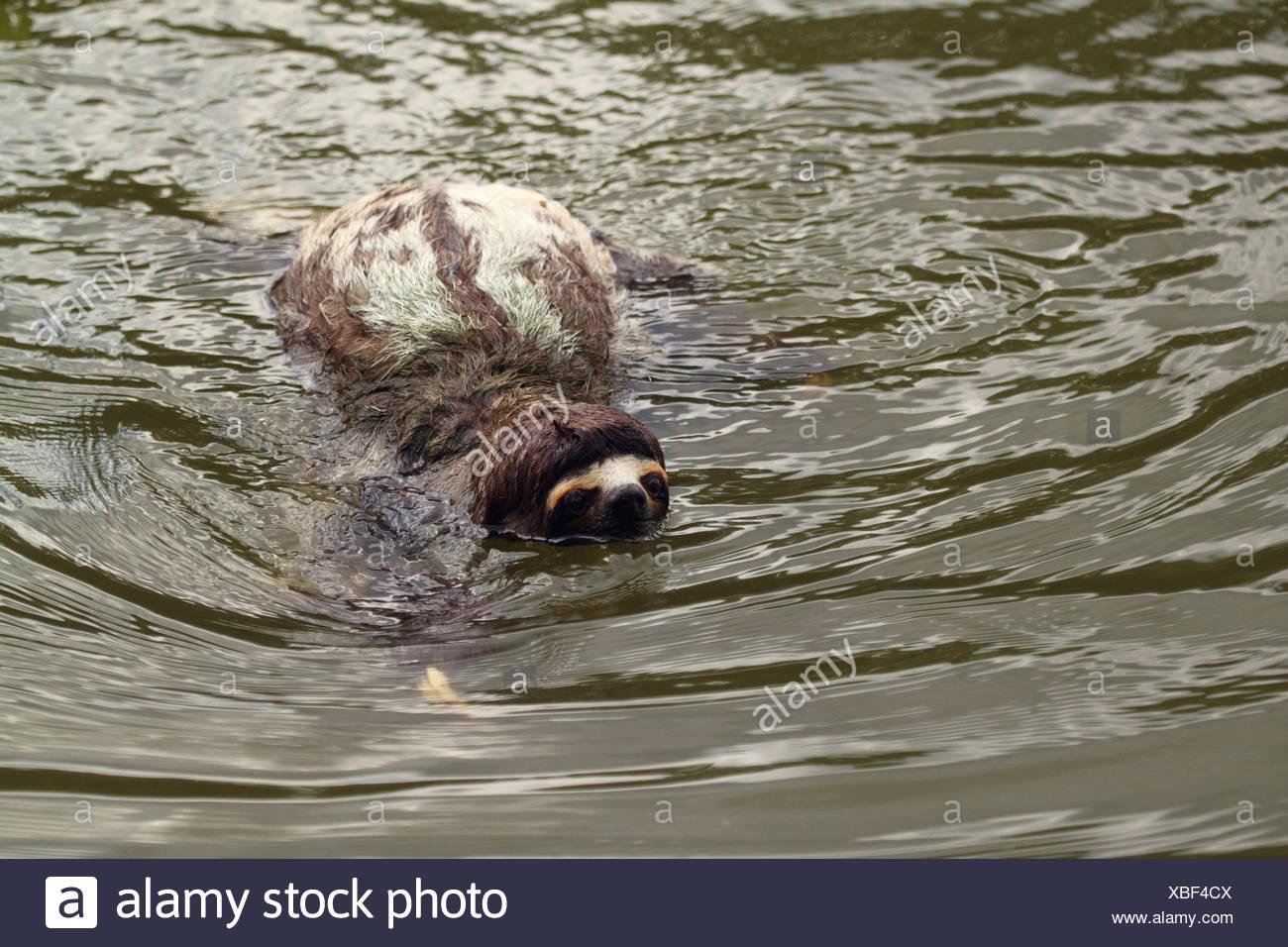 Brown-throated perezoso (Bradypus variegatus), nadar en el río, Perú, Loreto, Río Yanayacu Foto de stock