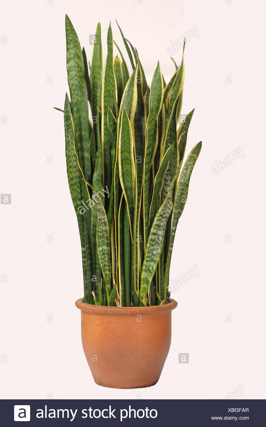 La lengua madre en la ley o la serpiente, planta Sanseviera trifasciata,utilizó una planta purificadora de aire con fuertes fibras de hoja Foto de stock