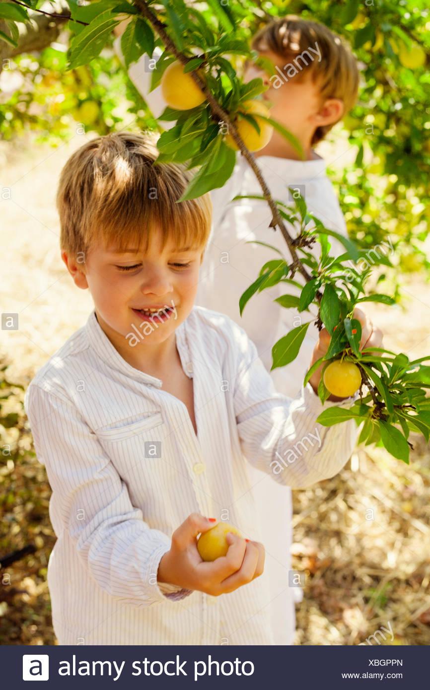 España, Menorca, Los varones ( 4-5, 6-7) recogiendo frutas Imagen De Stock
