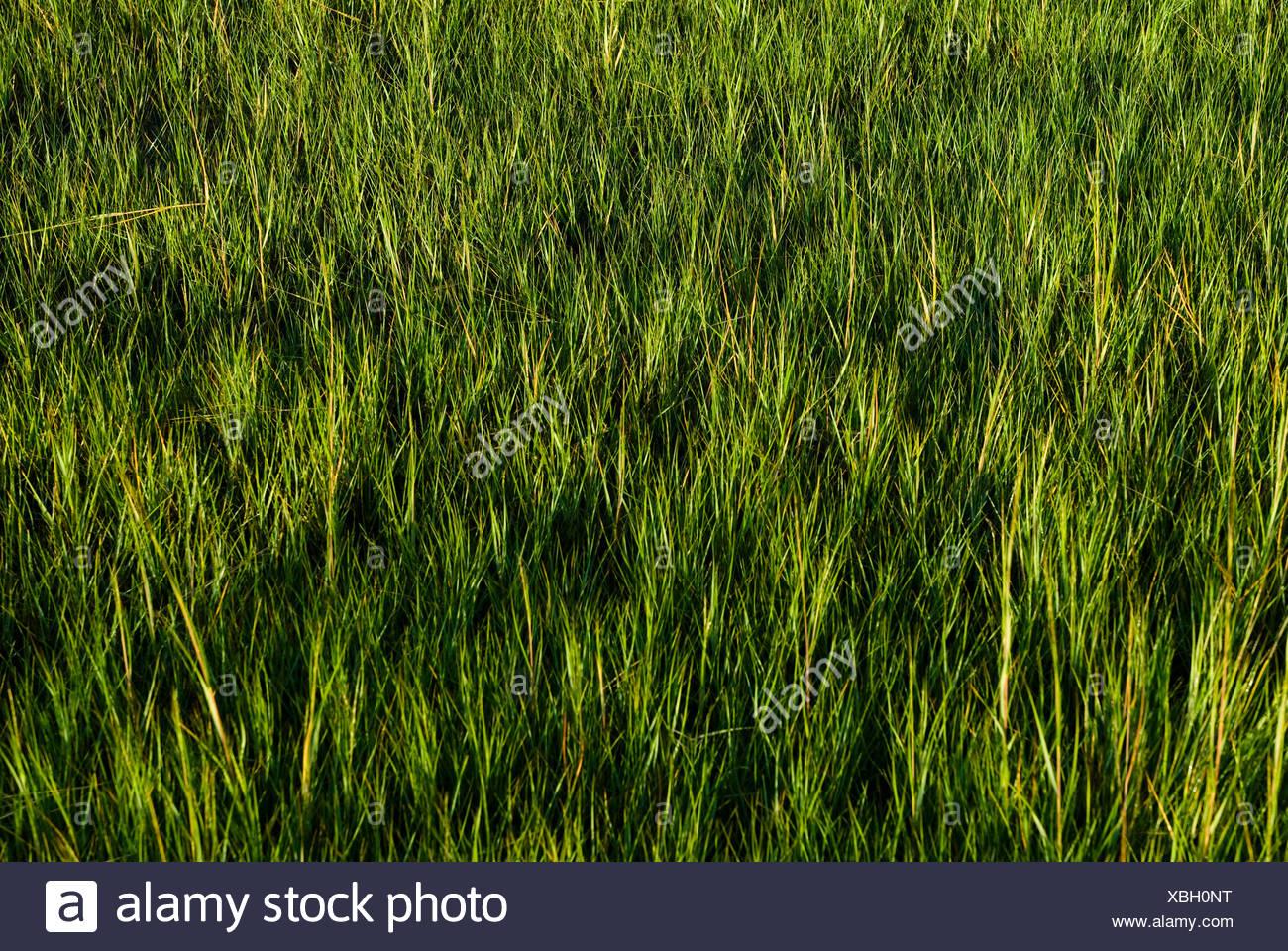 Salt Marsh hierba. Imagen De Stock
