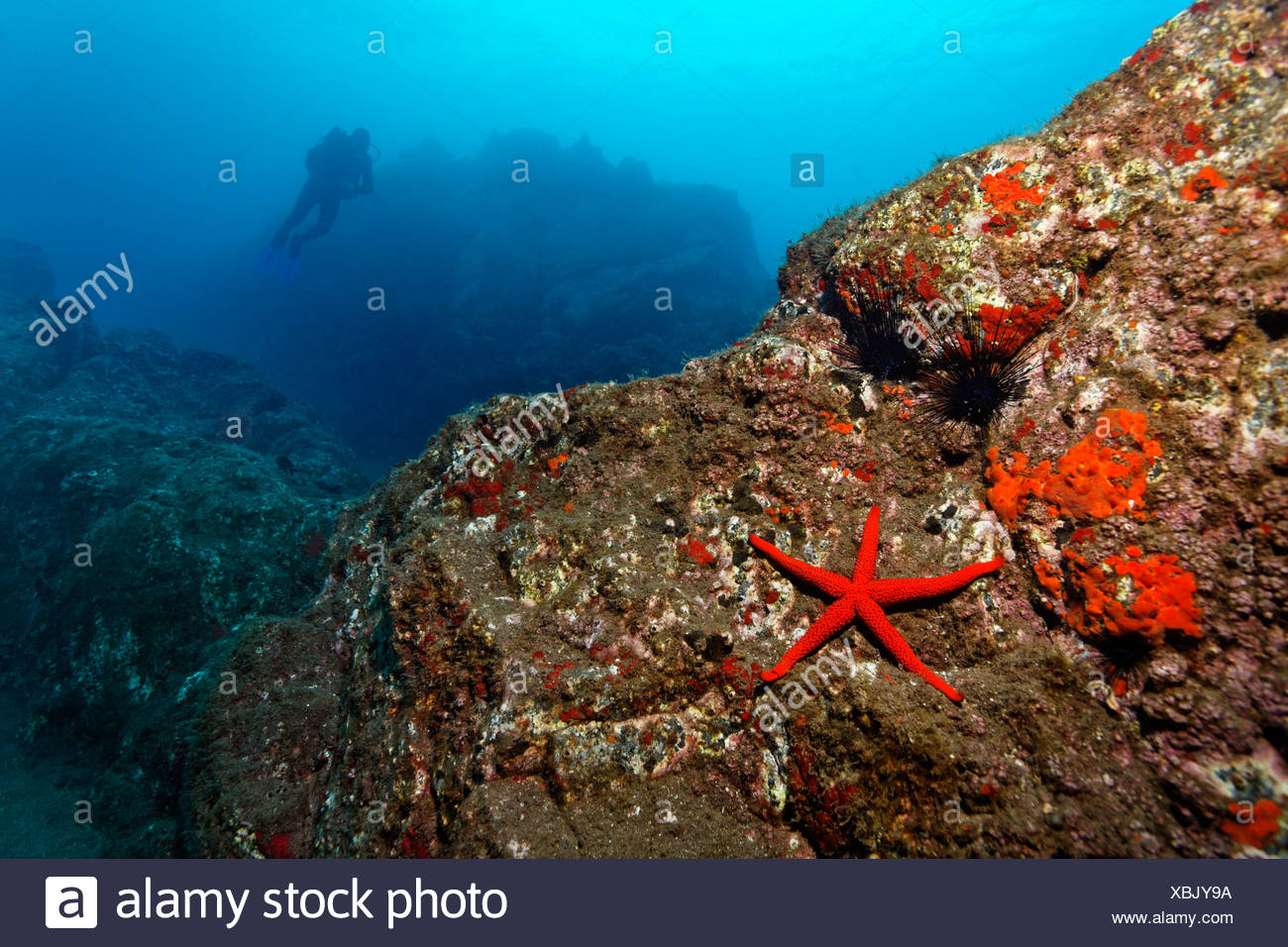 Paisajes submarinos rocosos, Estrella de mar roja (Echinaster sepositus), Acorn percebes (Balanus trigonus), Scuba Diver, Madeira Foto de stock