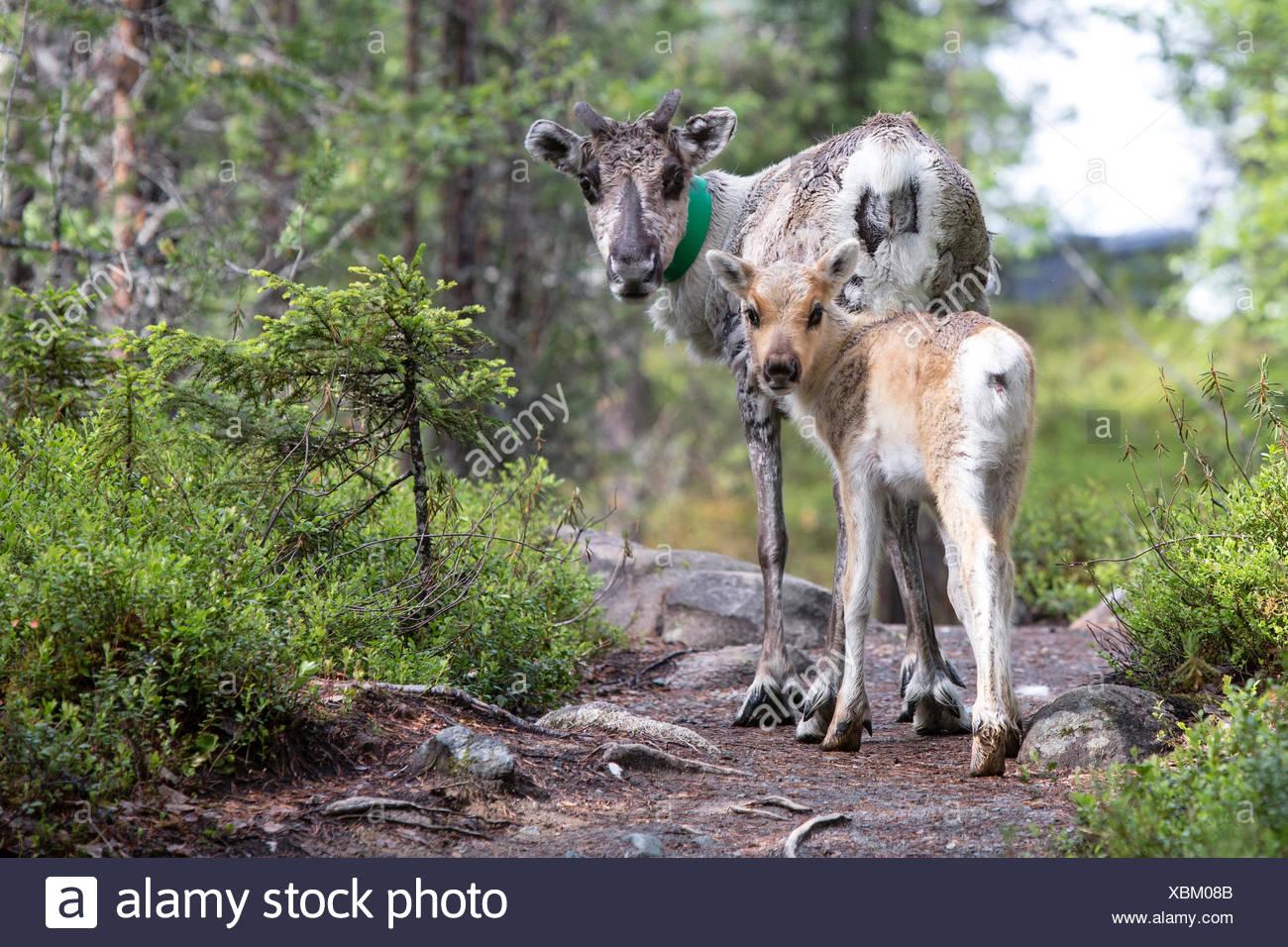 El reno y el animal joven, el Parque Nacional de Oulanka, Ostrobotnia Septentrional, Finlandia Imagen De Stock