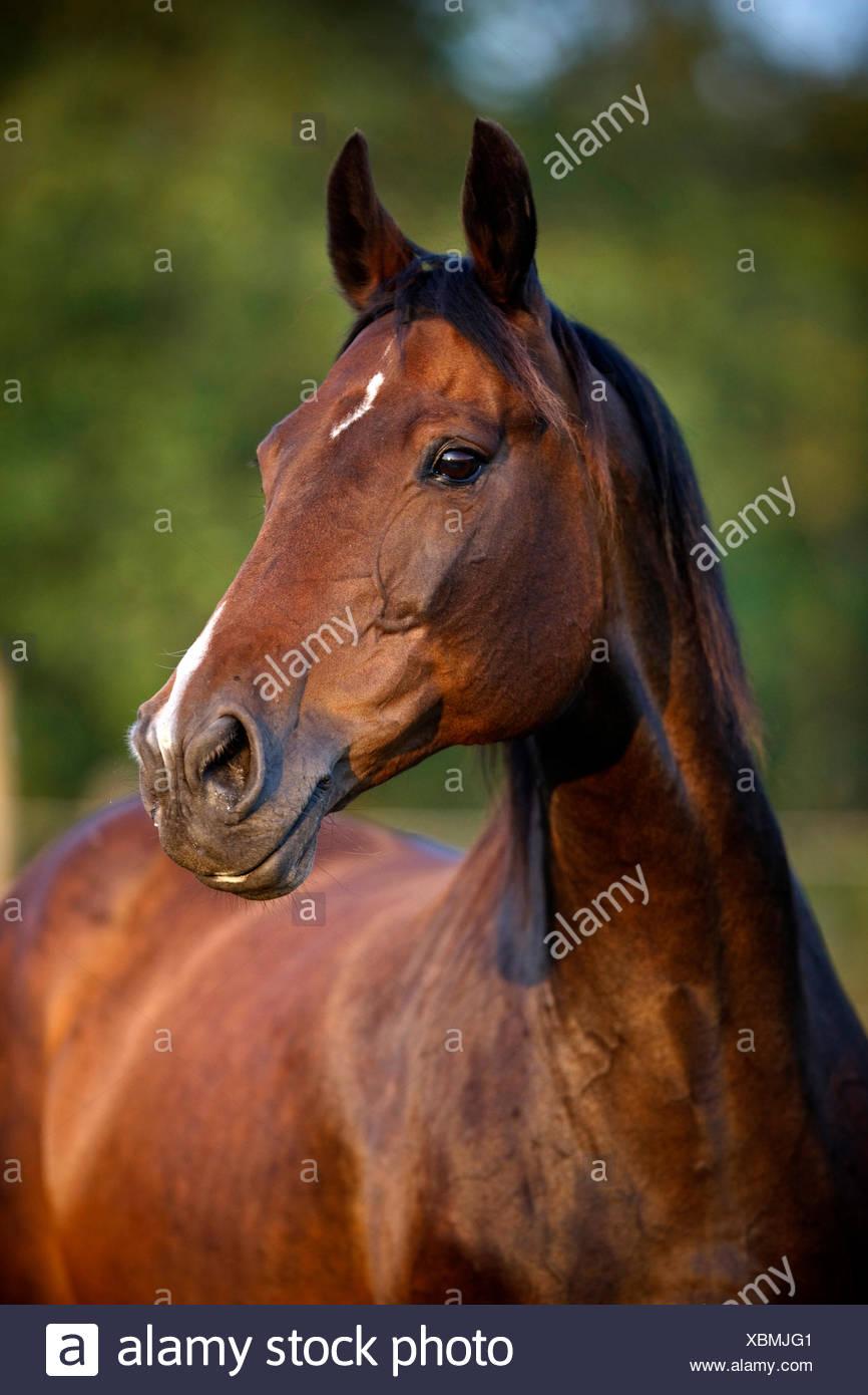 Retrato Warmblood yegua castaña estrella y recorte Imagen De Stock