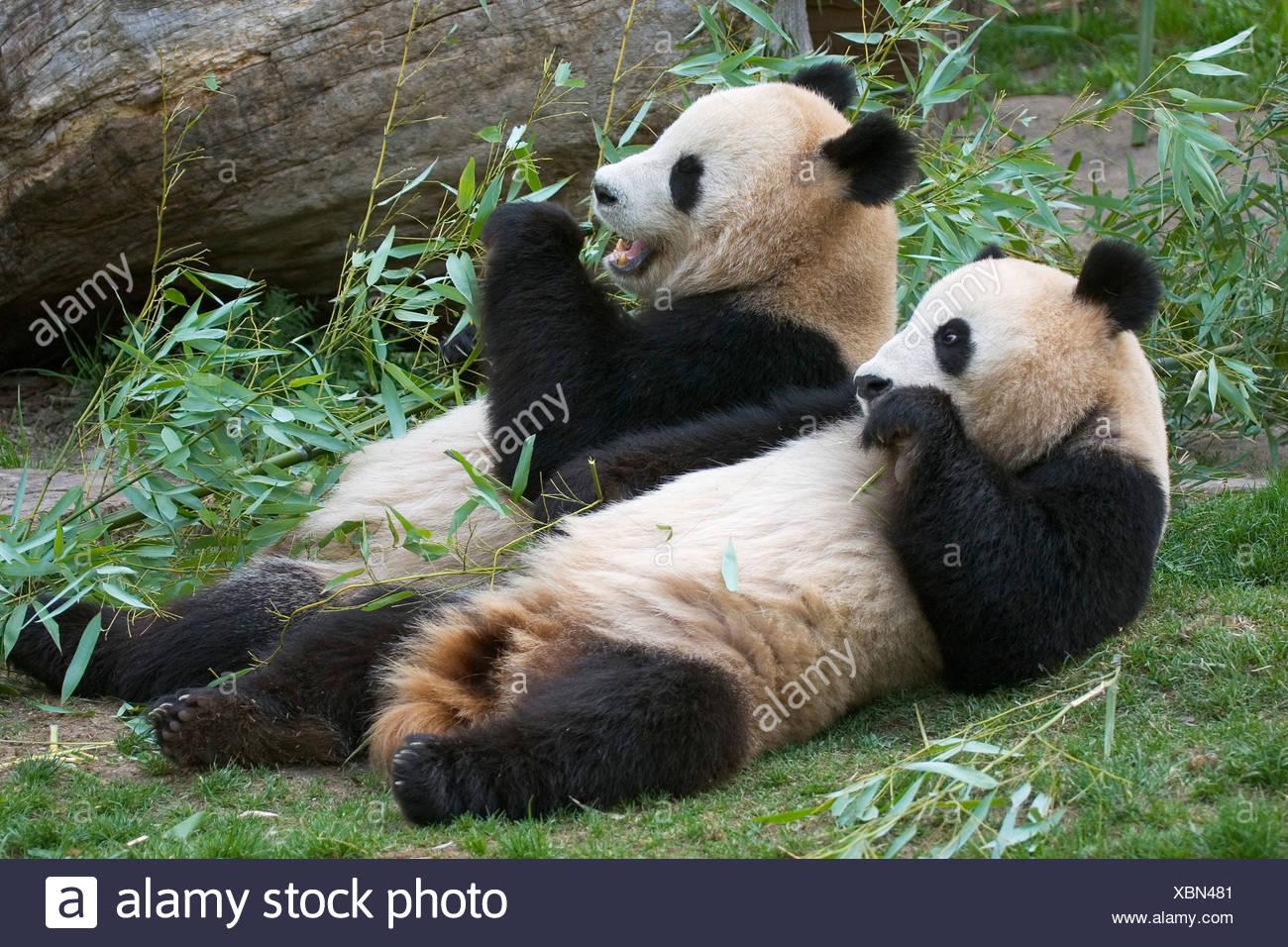 Oso Panda Gigante Ailuropoda Melanoleuca Comiendo Bambú