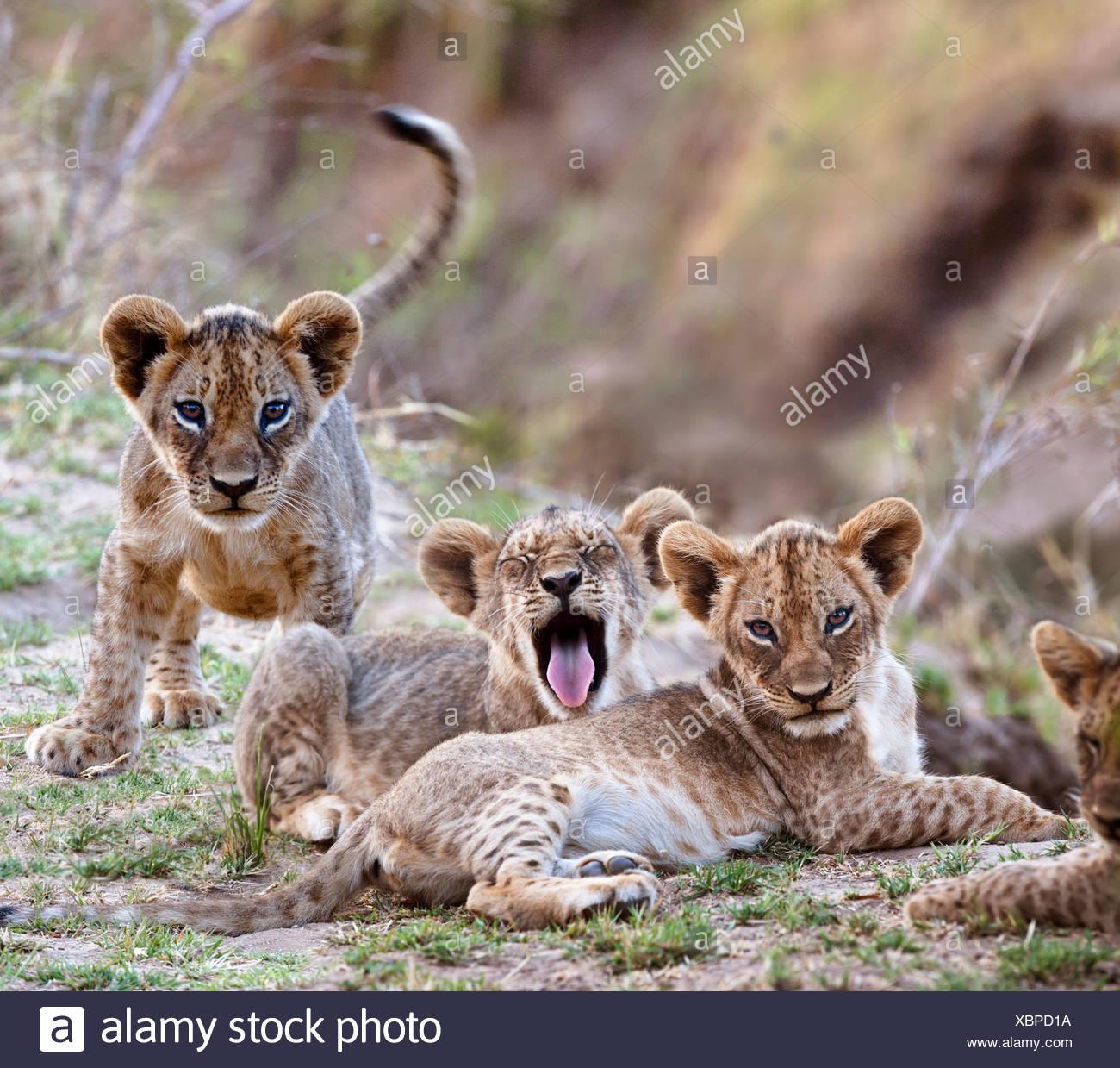 Cachorros de león africano - aprox 3 meses de edad - cerca del río Luangwa. El Parque Nacional Luangwa del Sur, Zambia Imagen De Stock