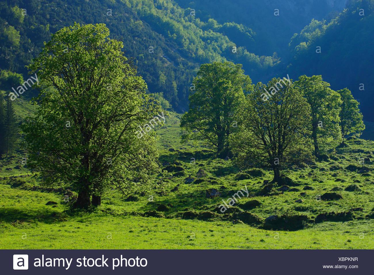 Acer pseudoplatanus, arce, árbol, montaña, sicomoros, montañas, árboles, montañas, cantón Primavera Glaris, Suiza, verde Foto de stock