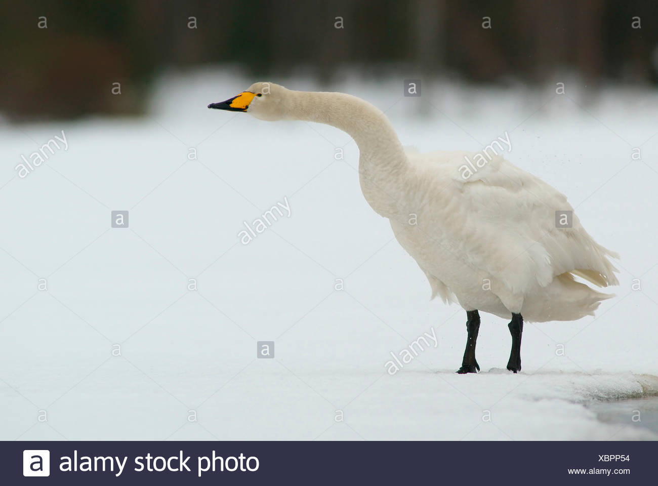 Cisnes cantores (Cygnus cygnus), actitud amenazadora, Kuusamo, Finlandia Imagen De Stock