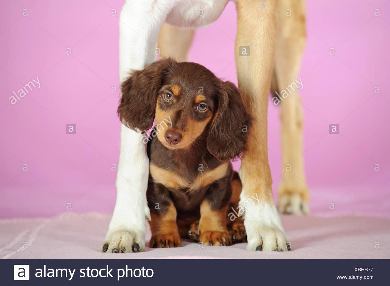 Largo Pelaje Teckel Miniatura Canis Lupus Familiaris