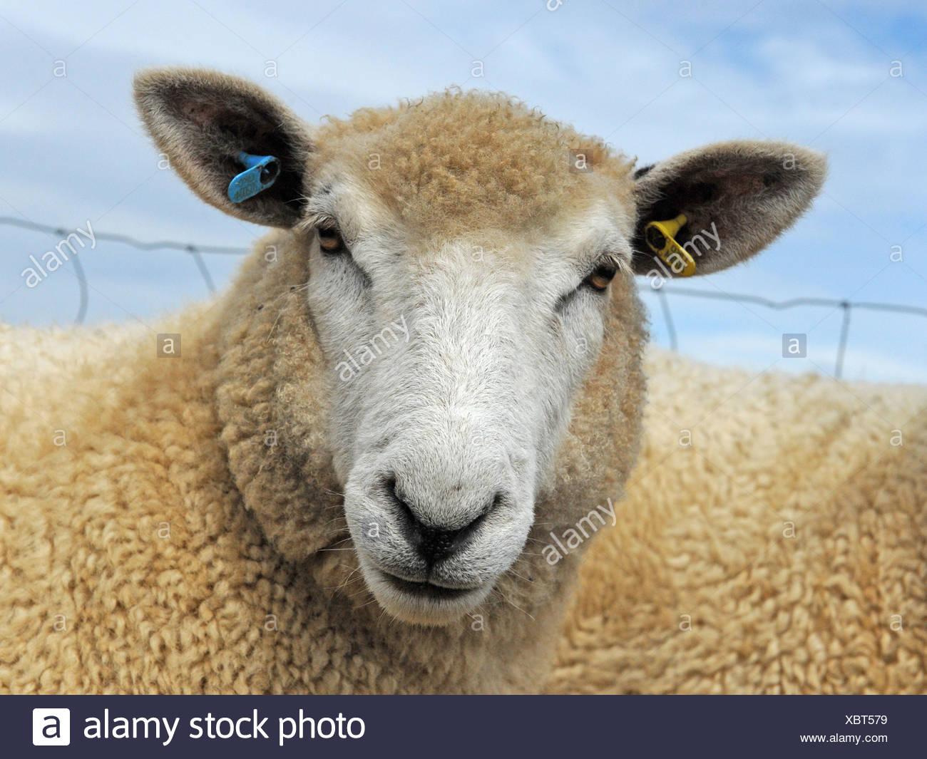 Una airada buscando ovejas con lana marrón claro Imagen De Stock