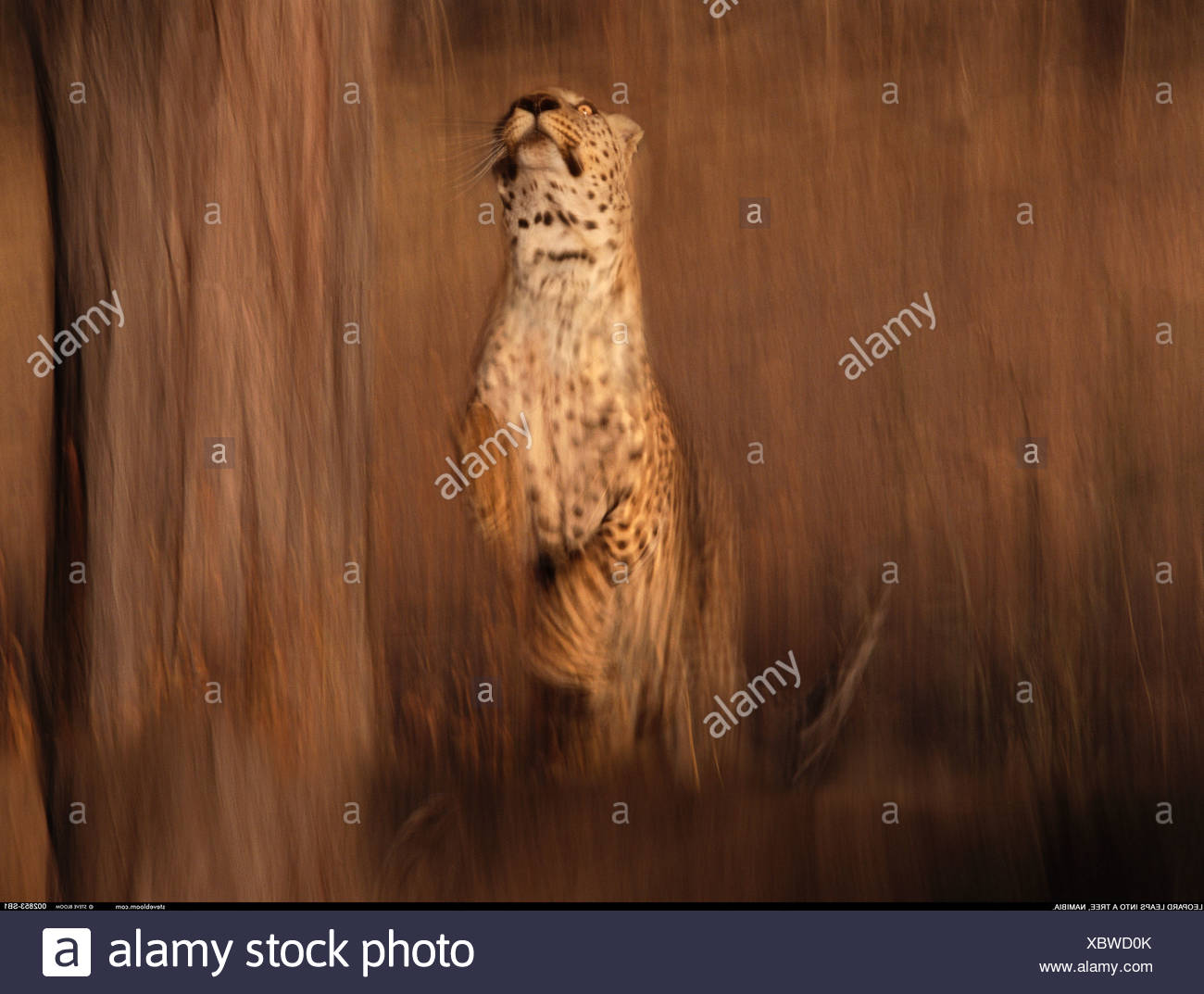 Leopard saltando en un árbol Namibia Imagen De Stock
