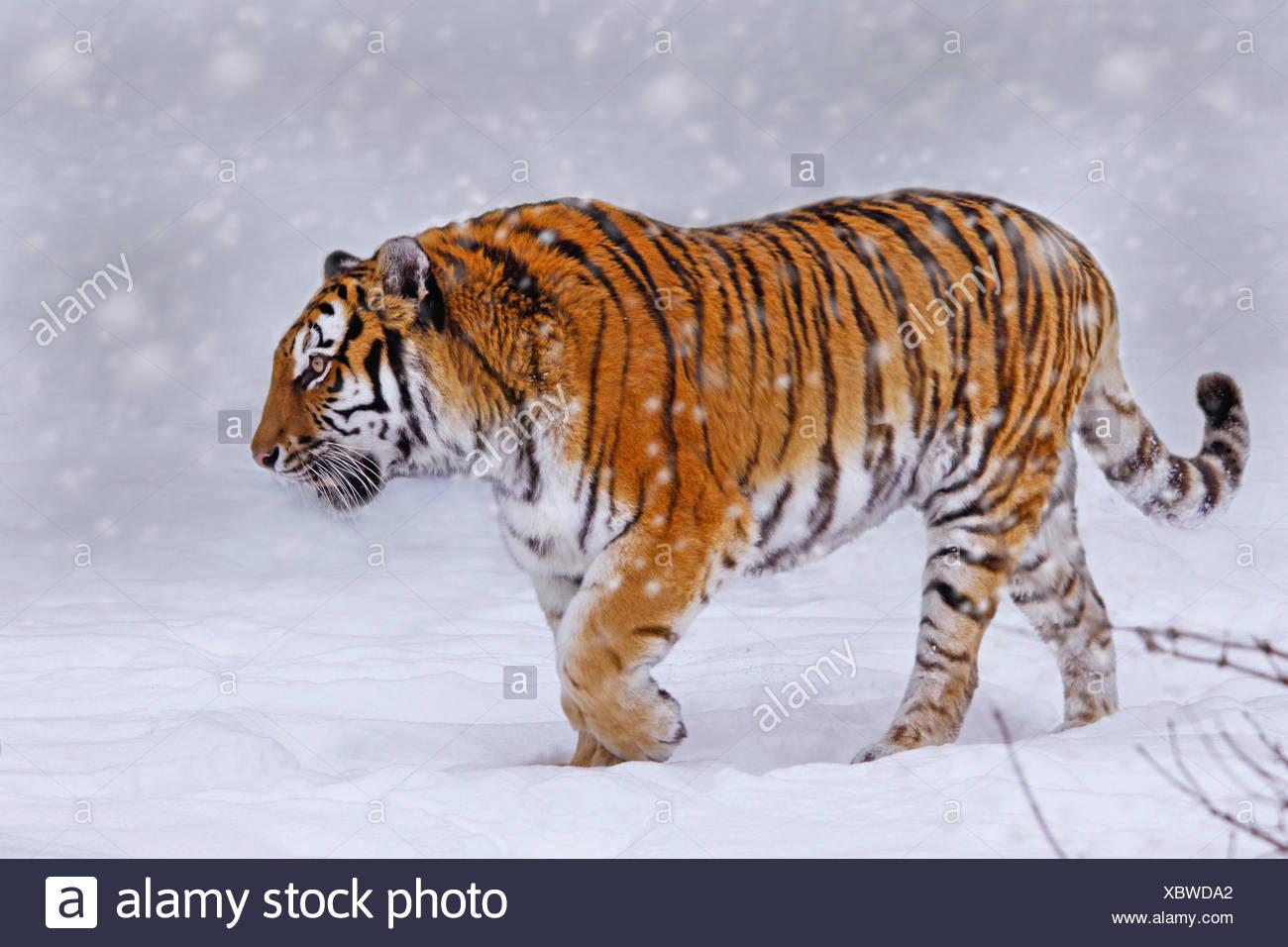 Tigre siberiano, Amurian tigre (Panthera tigris altaica), paseos a través de la nieve Imagen De Stock