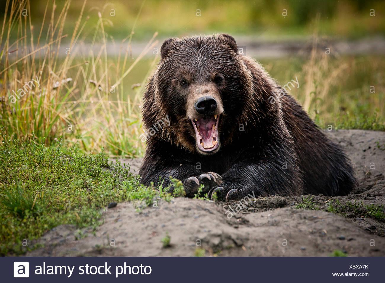 Oso grizzly (Ursus arctos horribilis) con amplias fauces abiertas, gesto amenazador, Valdez, Alaska, Estados Unidos Imagen De Stock