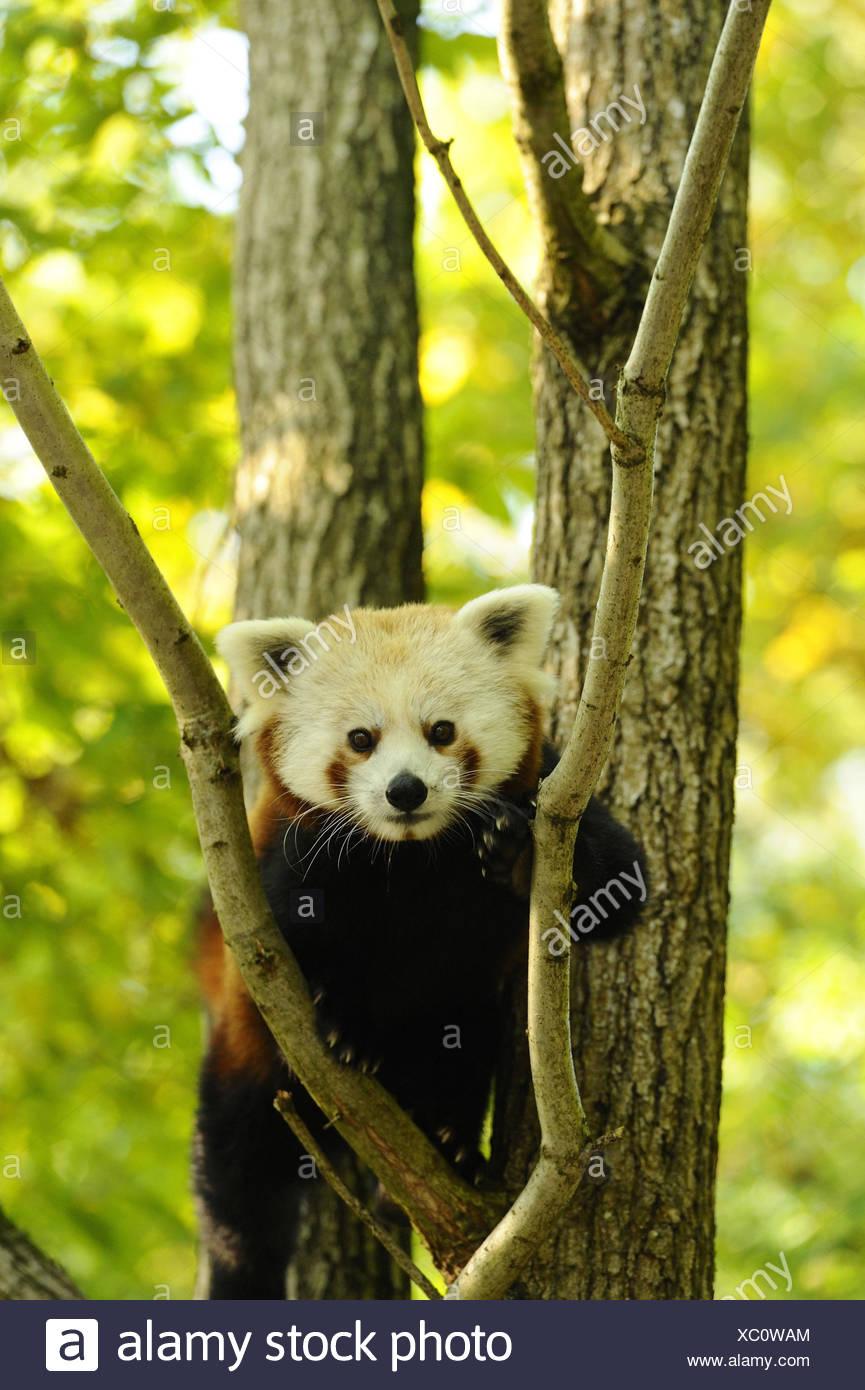 Panda rojo, Ailurus fulgens, ramas, vista frontal, escalada, mirando a la cámara, Imagen De Stock