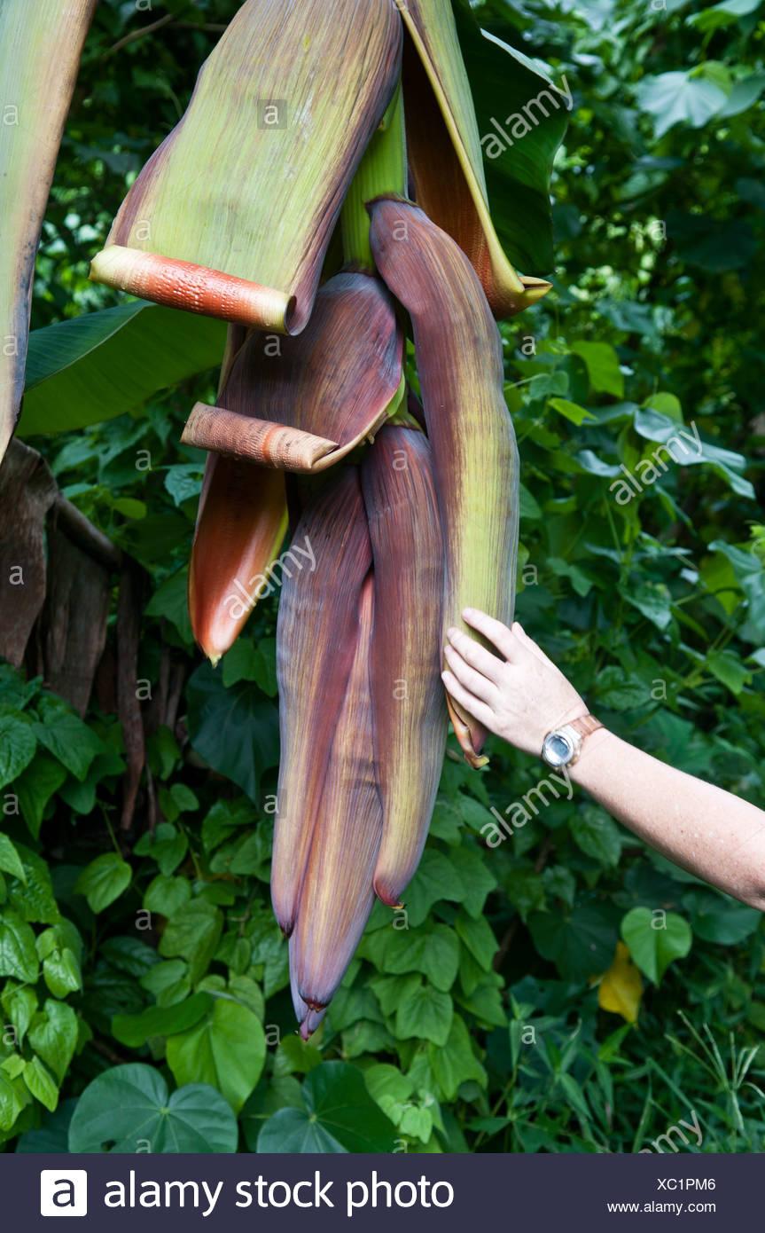 Mujer tocando una flor de plátano, Rarotonga, Islas Cook. Imagen De Stock