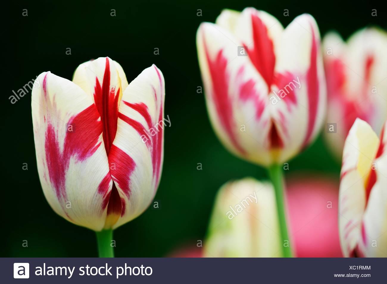 Variedad de tulipán gran perfección bombilla de floración de Primavera Imagen De Stock