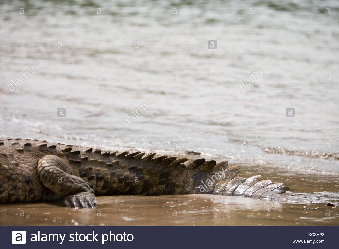 En el Parque Nacional Isla Coiba,los detalles de un cocodrilo americano es duro,piel escamosa y la cola son visibles descansando en el agua. Imagen De Stock