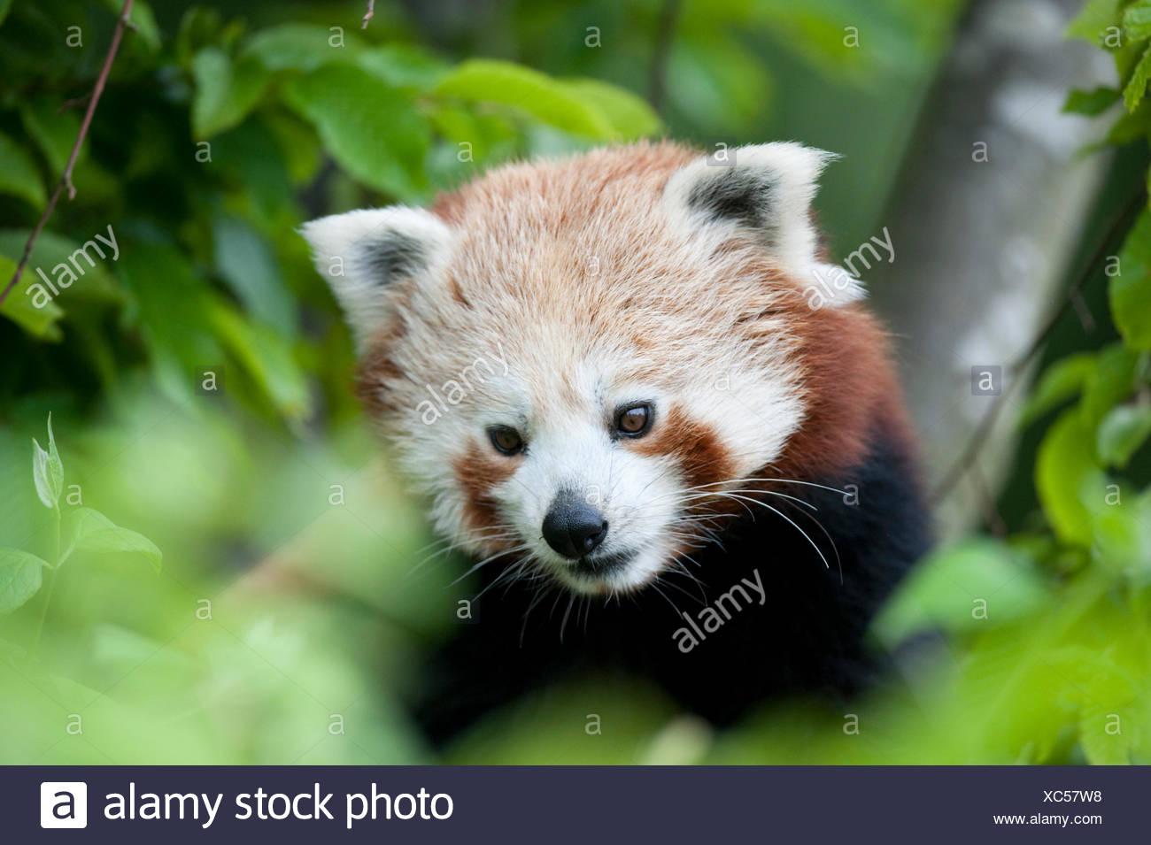 Panda rojo, Ailurus fulgens, cautiva, China, Lesser panda y el gato rojo-bear, es un pequeño mamífero arborícola nativas del Himalaya oriental y el suroeste Foto de stock