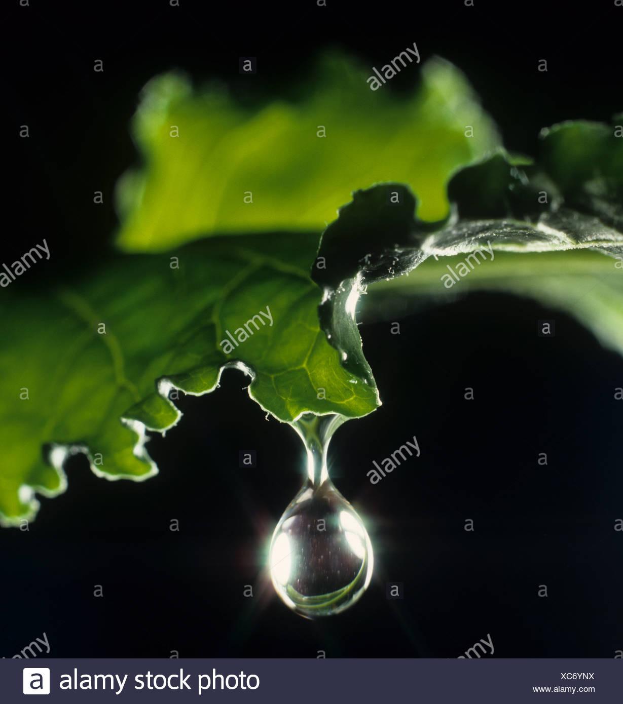 Gota de agua saliendo de una hoja de la remolacha azucarera. La caída está a punto de caer Imagen De Stock