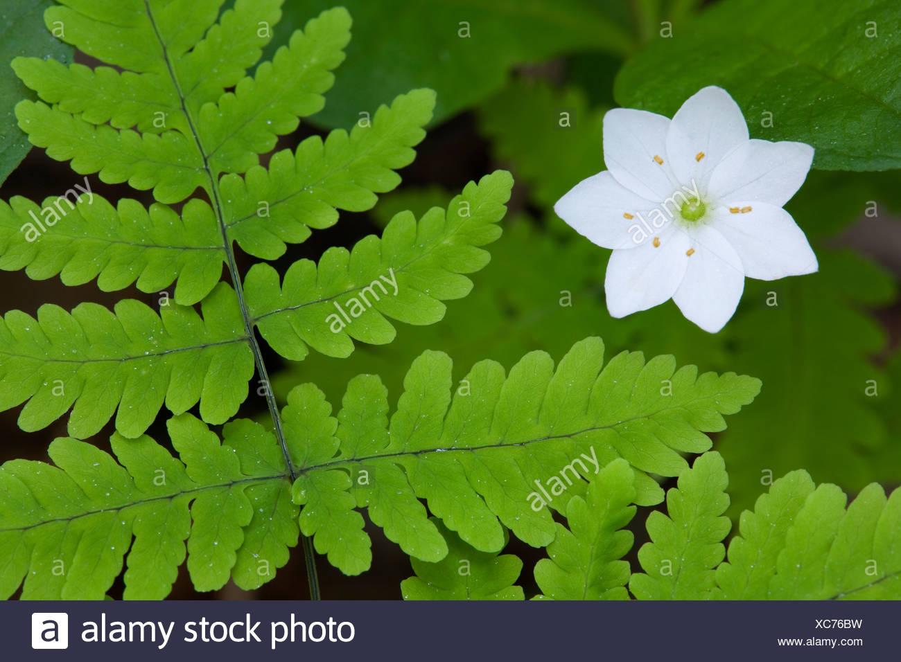 Alaska, Wasilla macro fotografía de estrellas (Flor arctica Trientalis europaea ssp) y el helecho en el piso del bosque. Imagen De Stock