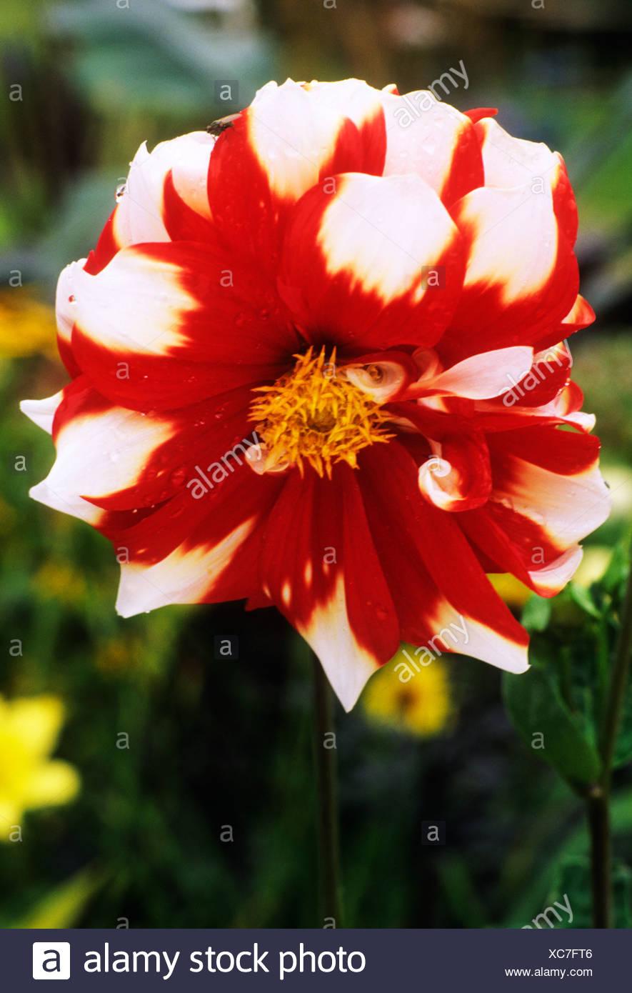 Dahlia Fuego Y Hielo De Flores Rojas Y Blancas Flores Plantas