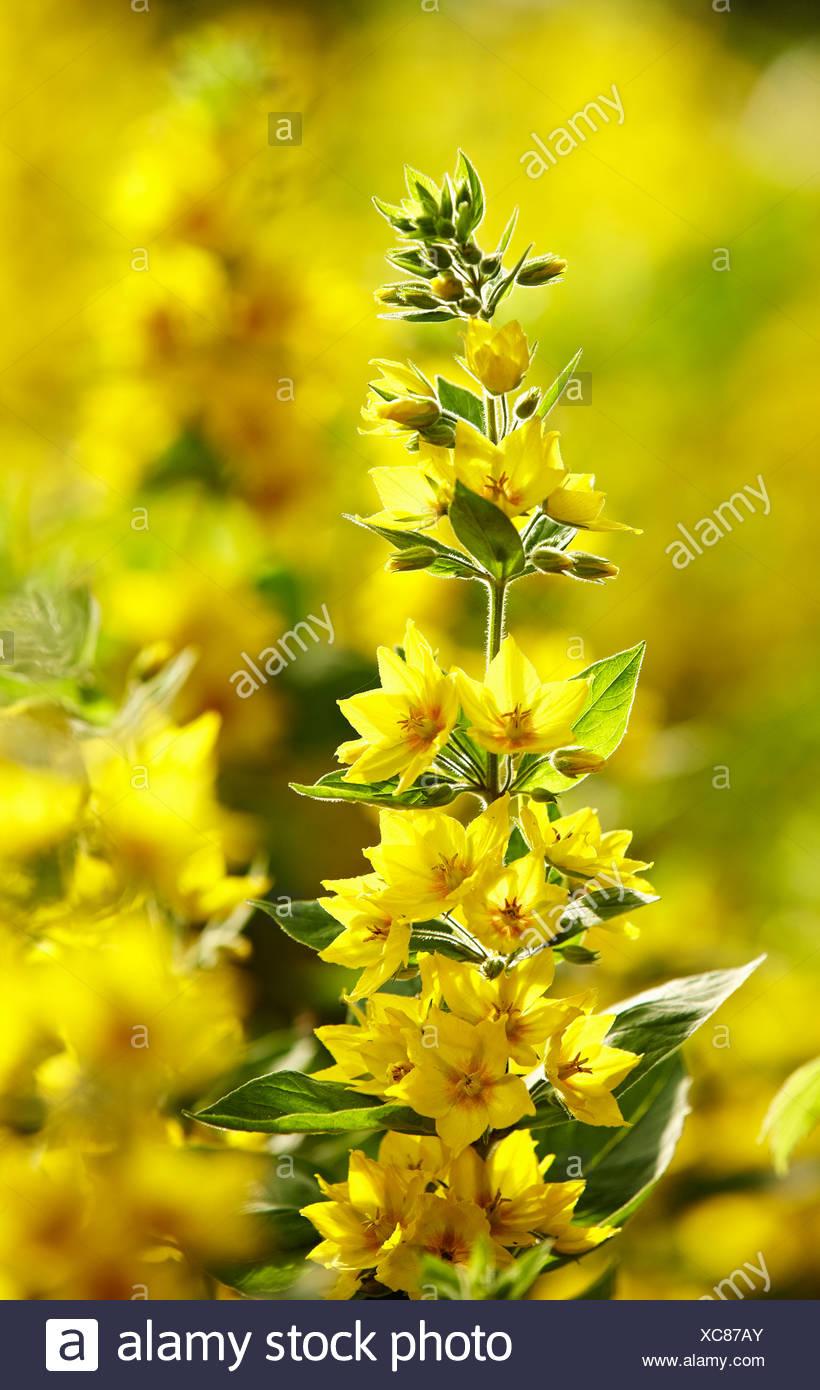Tallo de las flores amarillas en el exterior Foto de stock