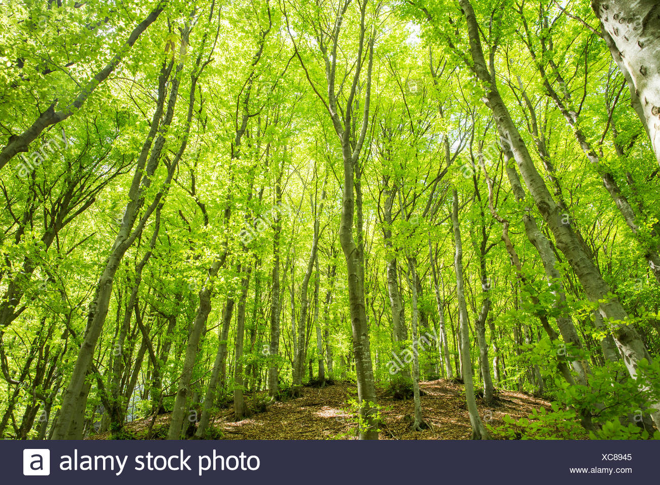 Lugano, madera, bosque, Monte Boglia, cantón del Tesino, al sur de Suiza, la madera, el bosque, Suiza, Europa, Imagen De Stock