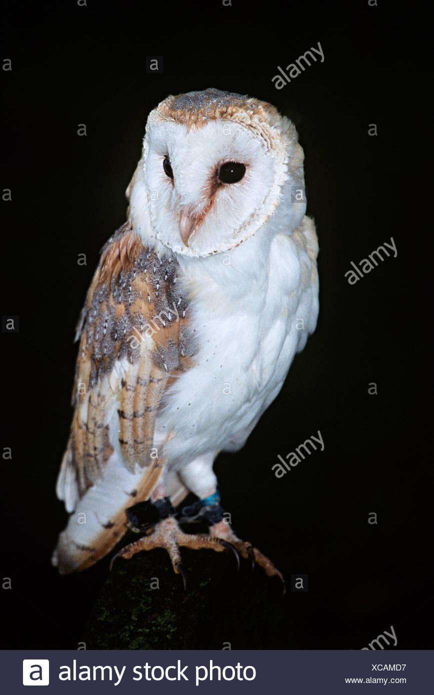 Barn owl Imagen De Stock