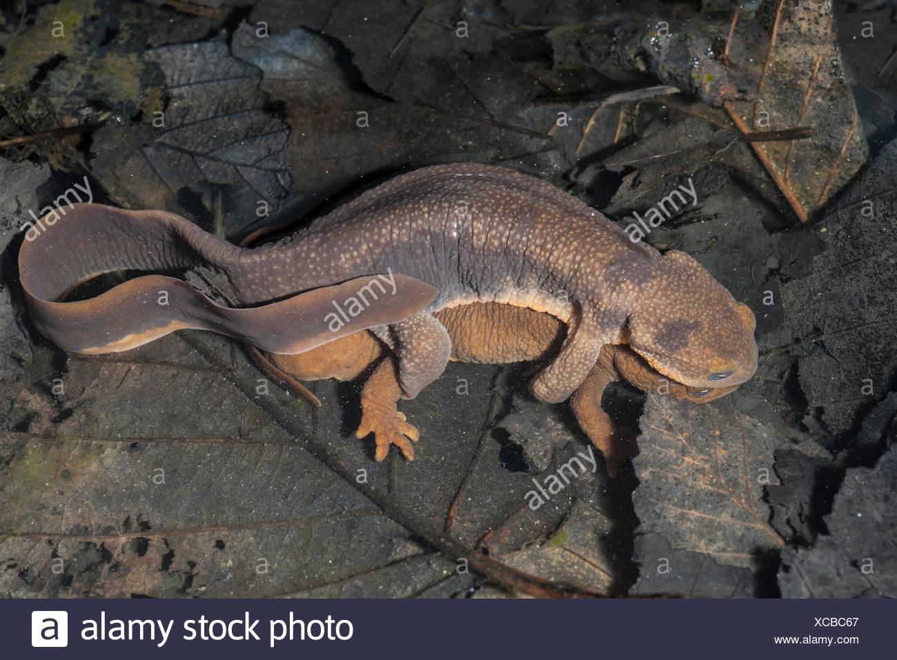 Acoplamiento de piel rugosa salamandras (Taricha granulosa), bosques templados, Costa central Bella Coola, British Columbia, Canadá Imagen De Stock