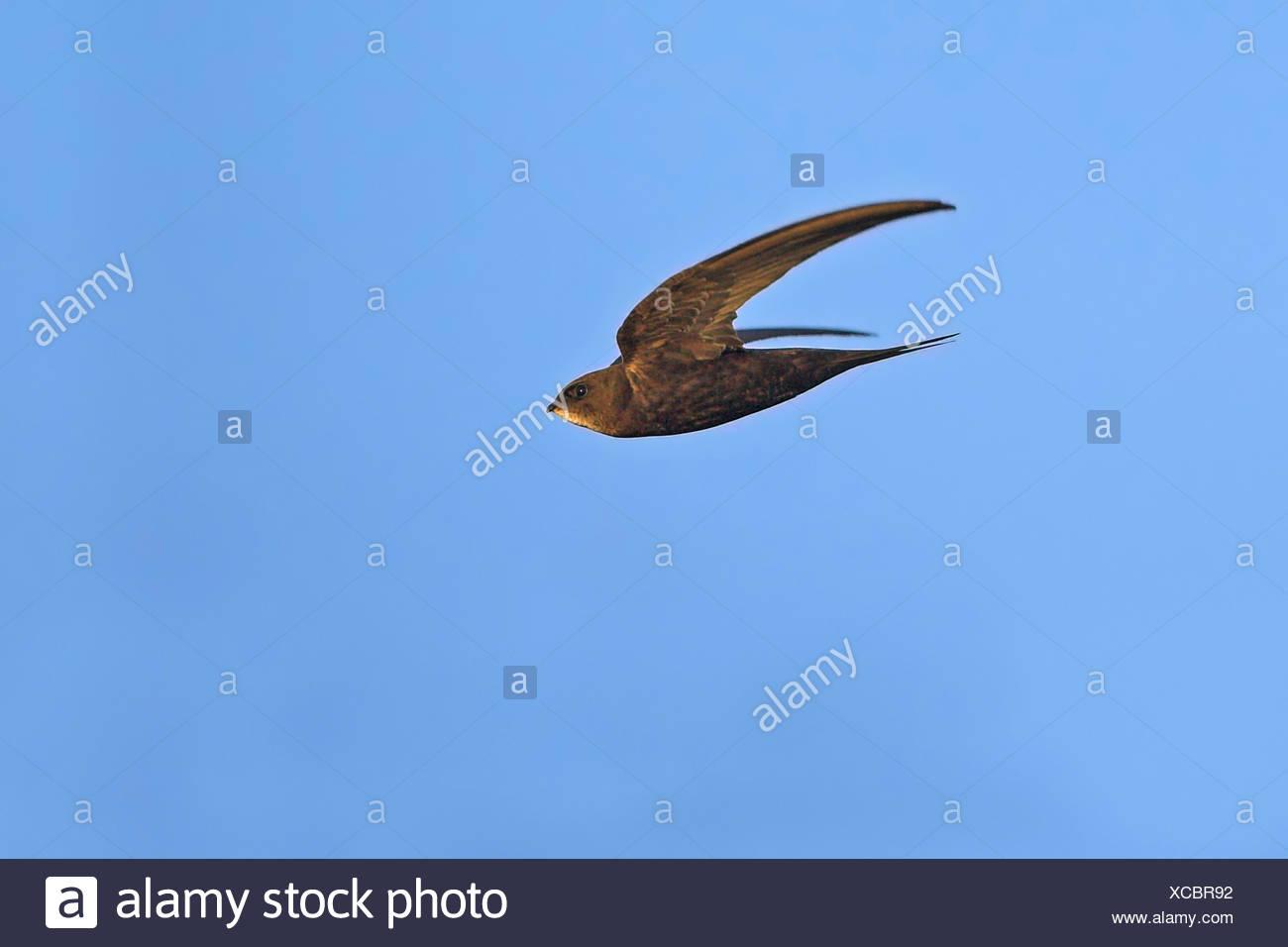 Swift euroasiático (Apus apus), en vuelo, vista lateral, Alemania Baden-Wurtemberg Imagen De Stock
