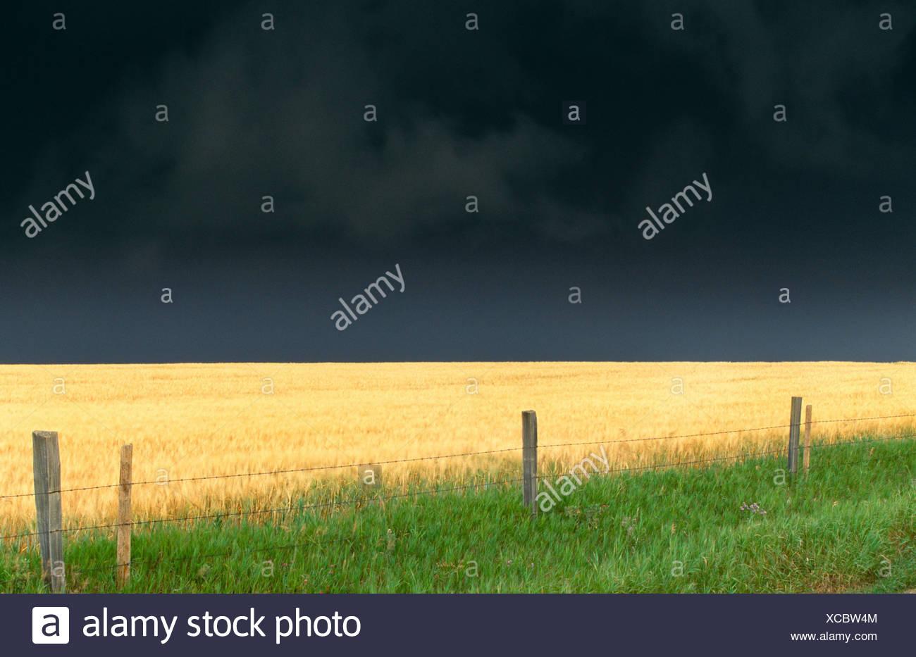 Los campos de trigo, Twin Buttes región, Alberta, Canadá Imagen De Stock