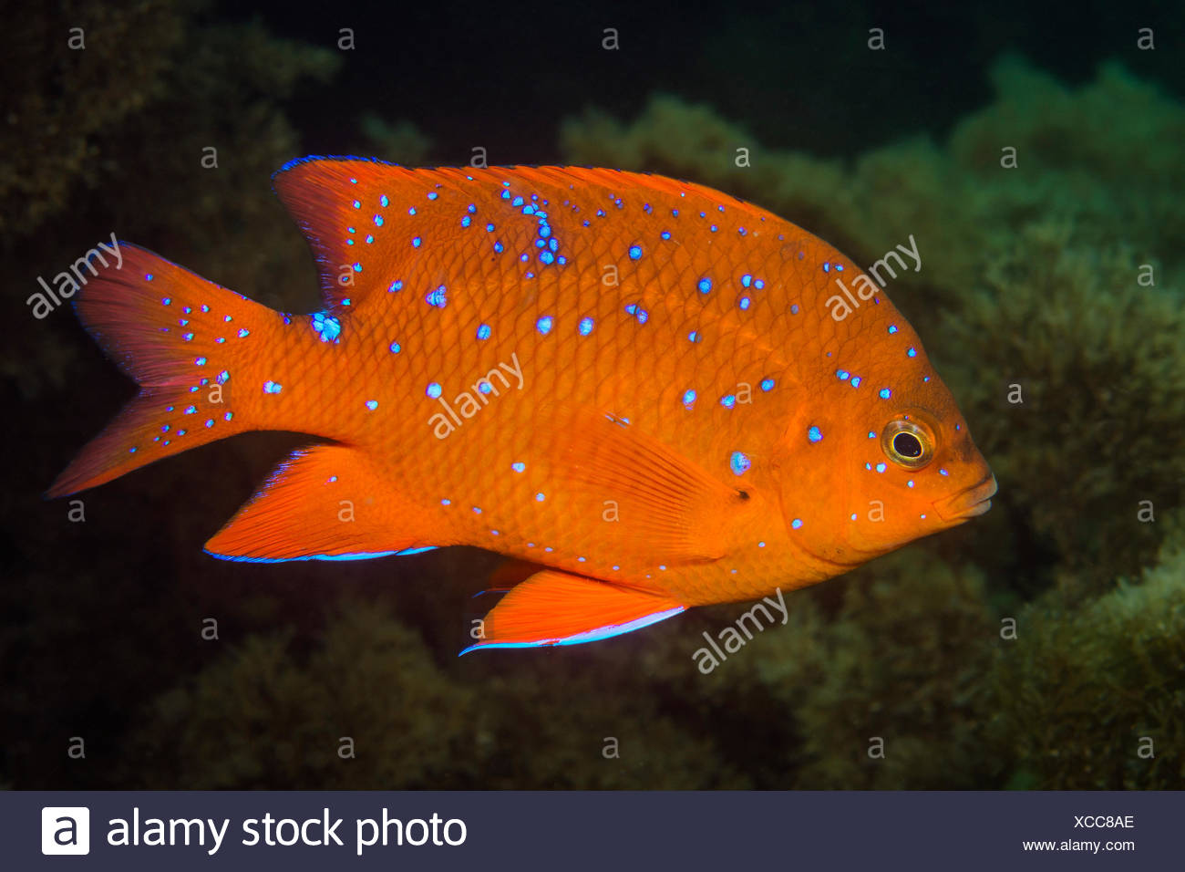 Garibaldi, peces juveniles hypsypops rubicundus, Catalina Island, California, EE.UU. Imagen De Stock