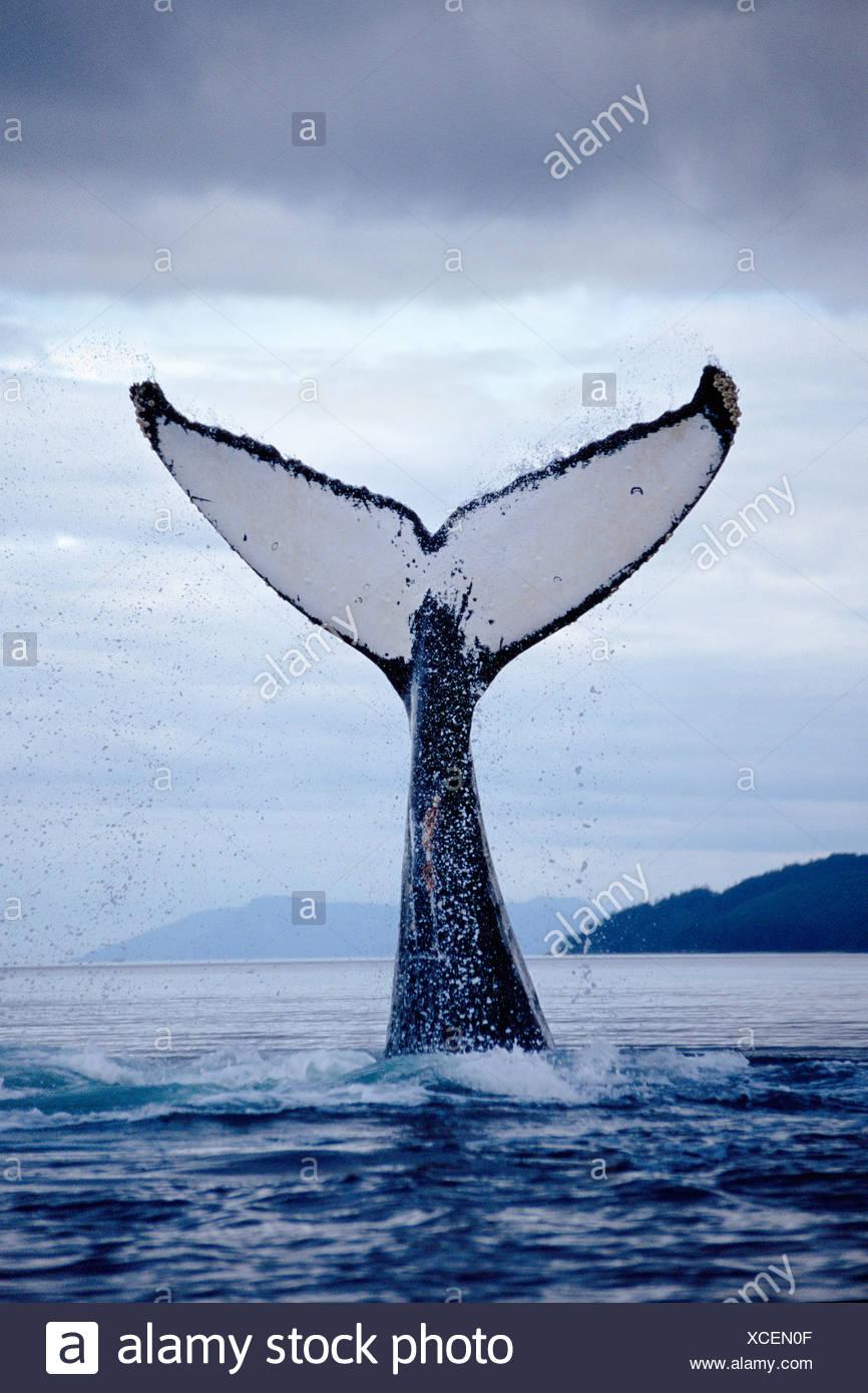 Ballena Jorobada lobtailing, Estrecho de Chatham, sureste de Alaska Imagen De Stock