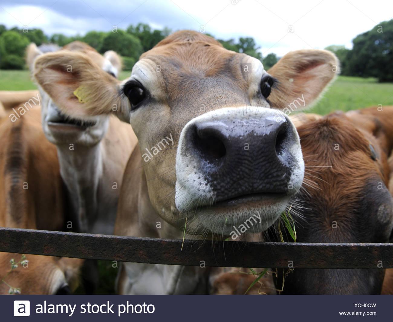 Un grupo de vacas jersey en un campo Imagen De Stock