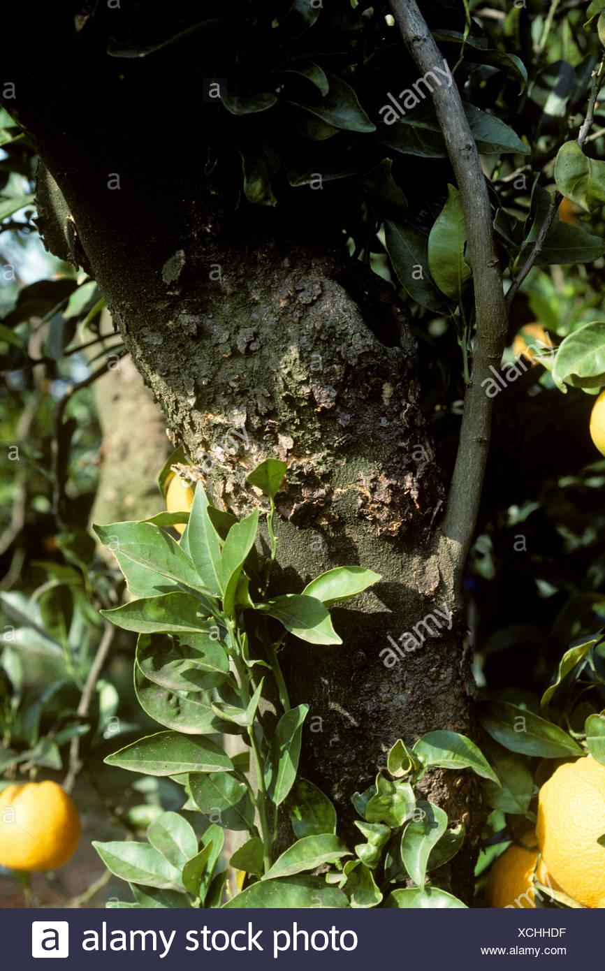 Corteza escamosa Citrus virus psorosis síntomas CPV en una corteza de árbol de cítricos Imagen De Stock