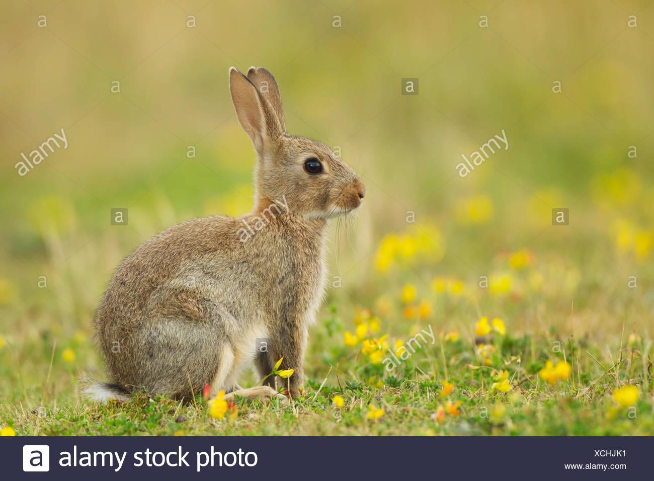 El conejo europeo o conejo (Oryctolagus cunniculus común), el animal joven con flores amarillas, en Suffolk, Reino Unido Imagen De Stock