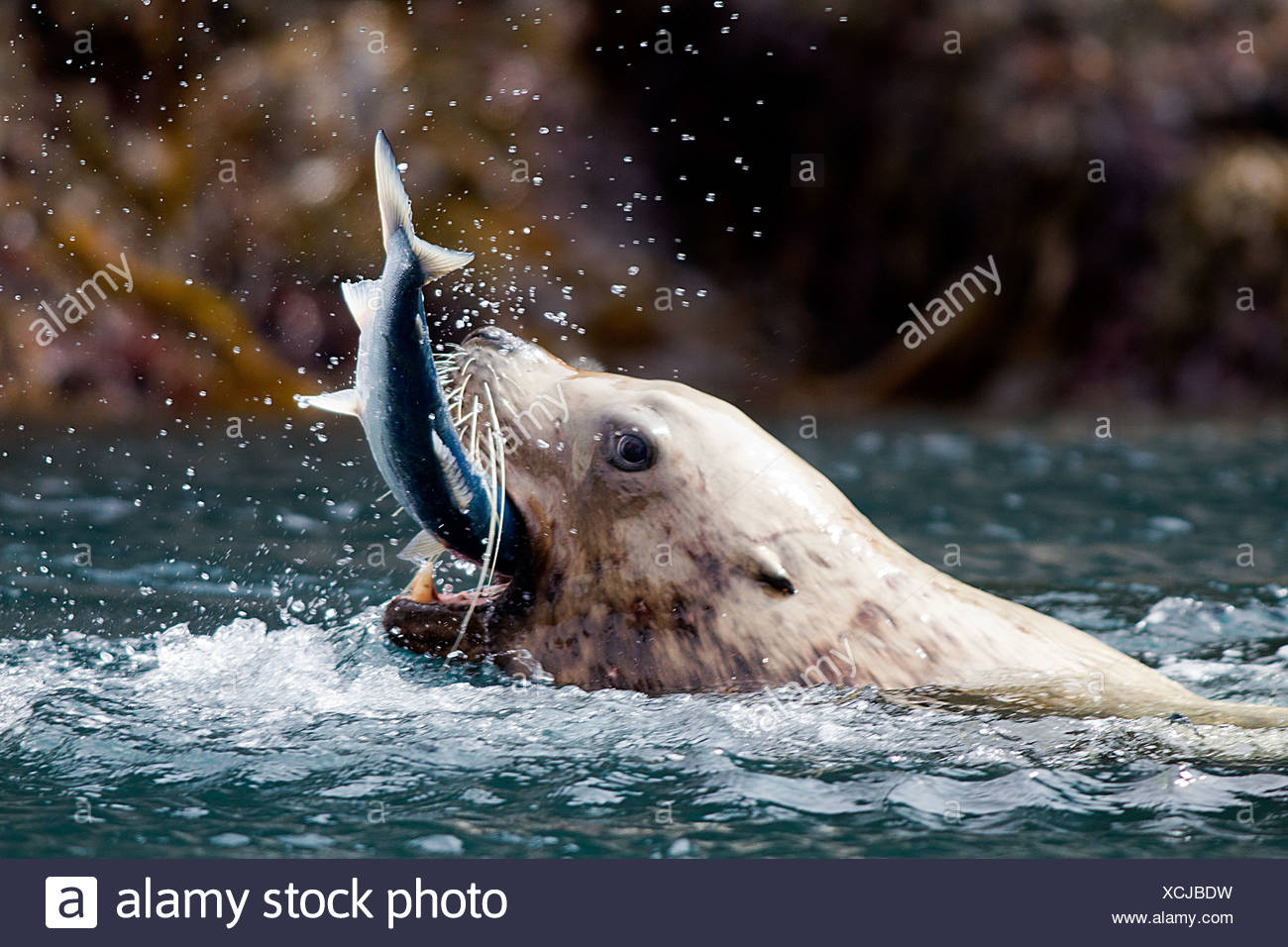 Las capturas de peces leones marinos Imagen De Stock