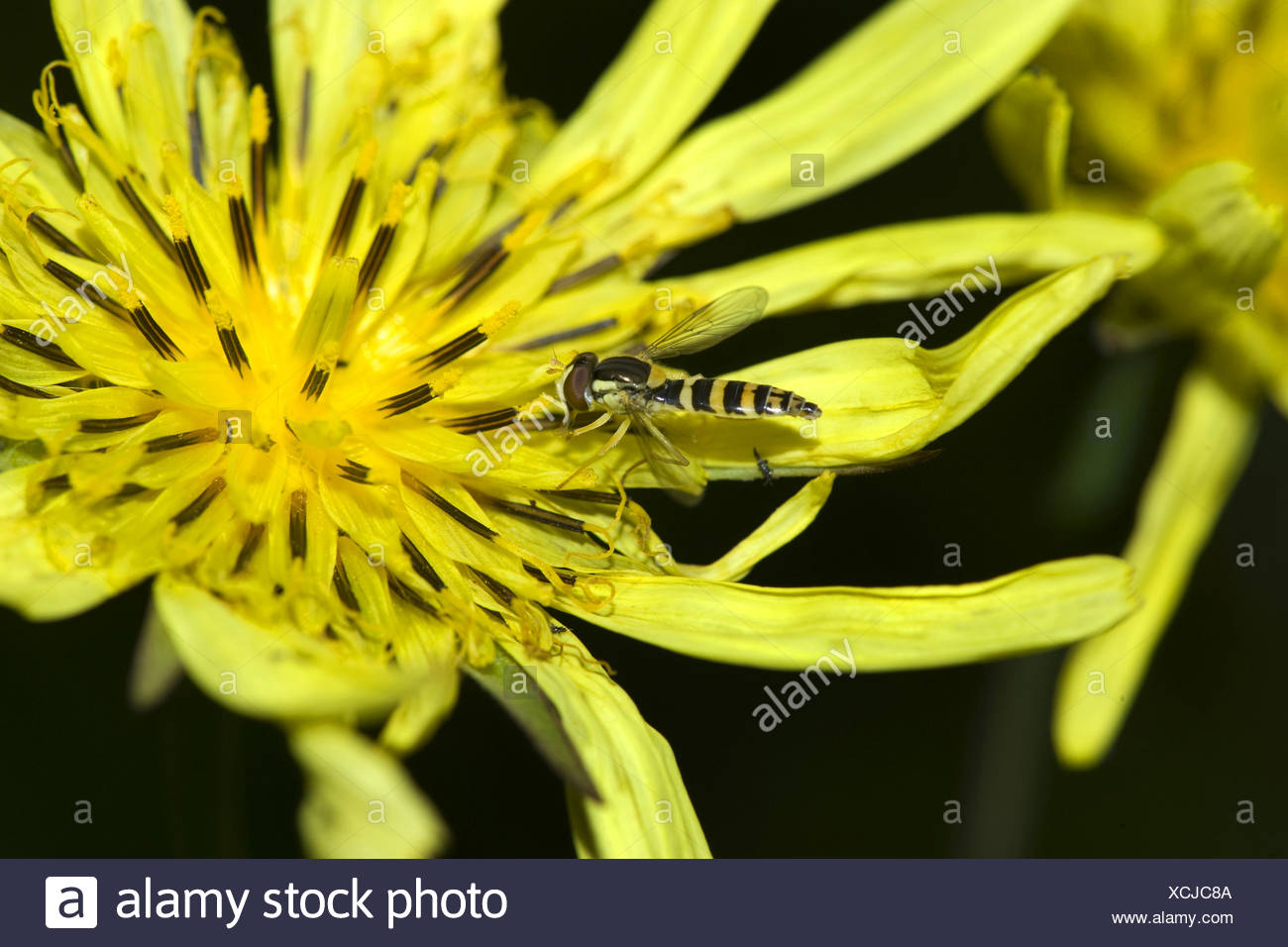 Oriental Goet's Beart, Jack-Go-To-Bed-At-Noon (Tragopogon pratensis subsp. orientalis Tragopogon orientalis), flor con hoverfly, Suiza Imagen De Stock