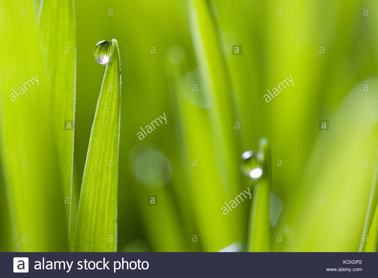 Gotas de agua sobre hojas de hierba Imagen De Stock
