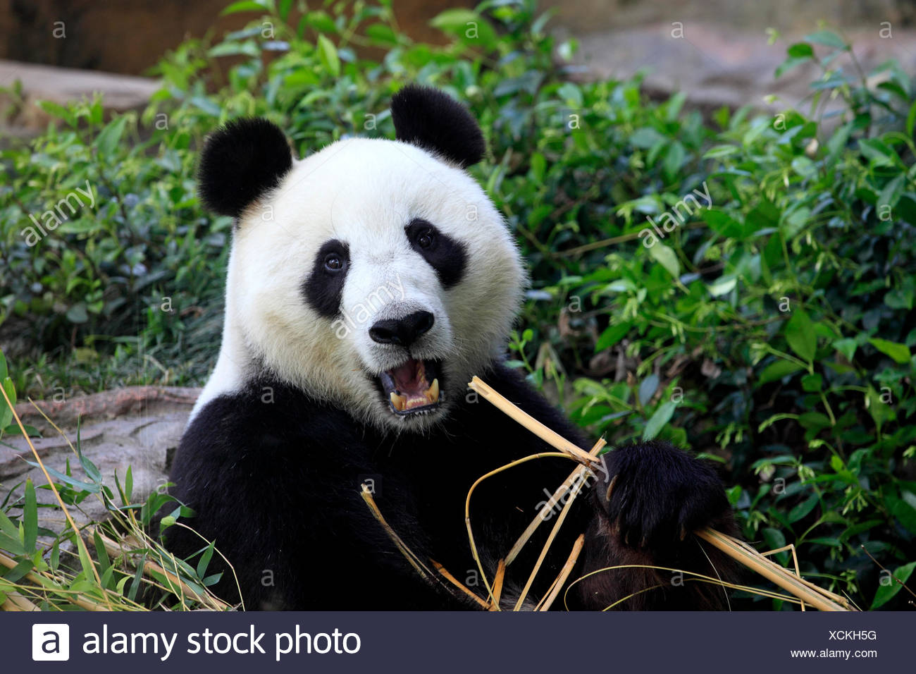 El panda gigante, Ailuropoda melanoleuca / (Asia) Imagen De Stock
